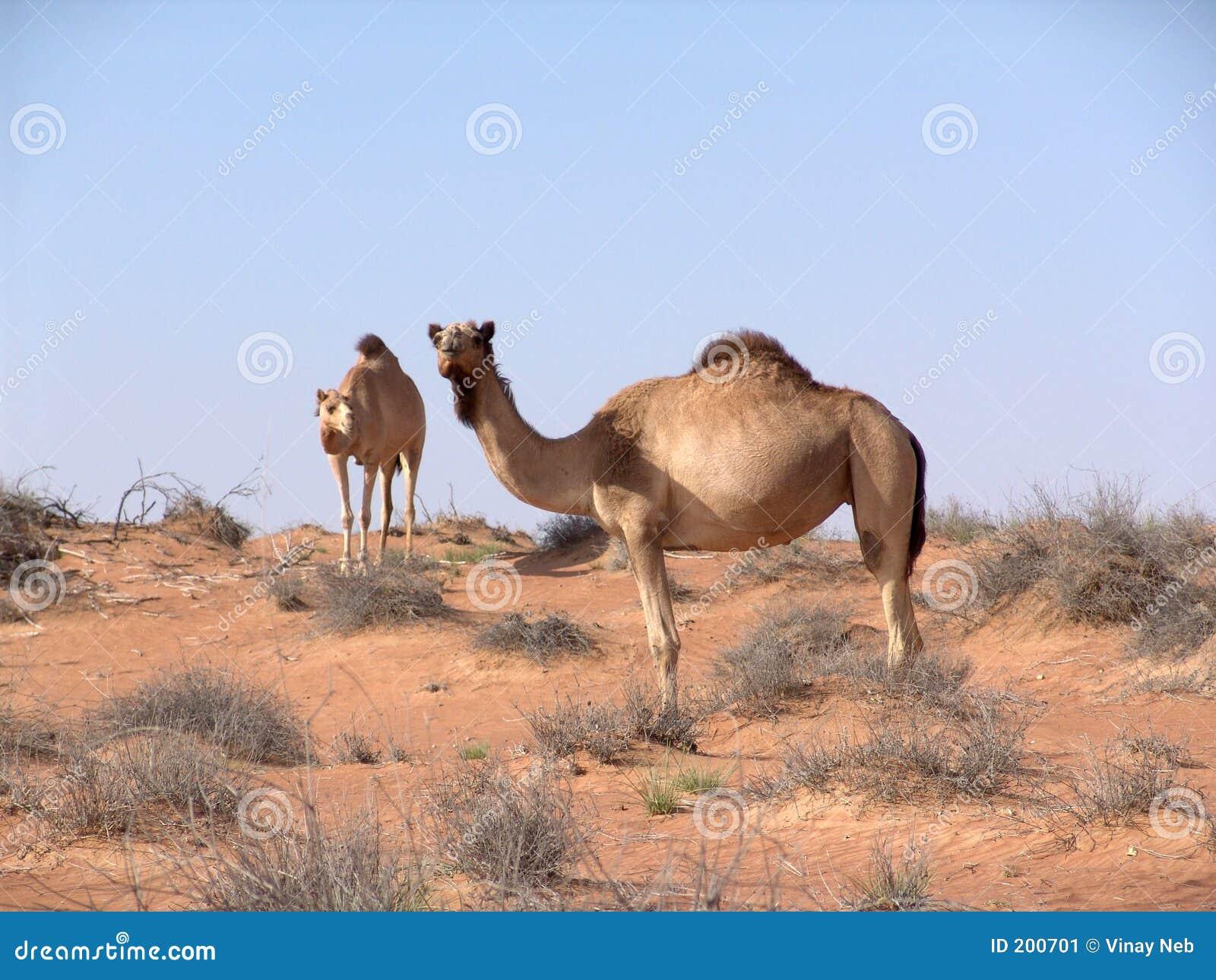 Arabisk kamelöken