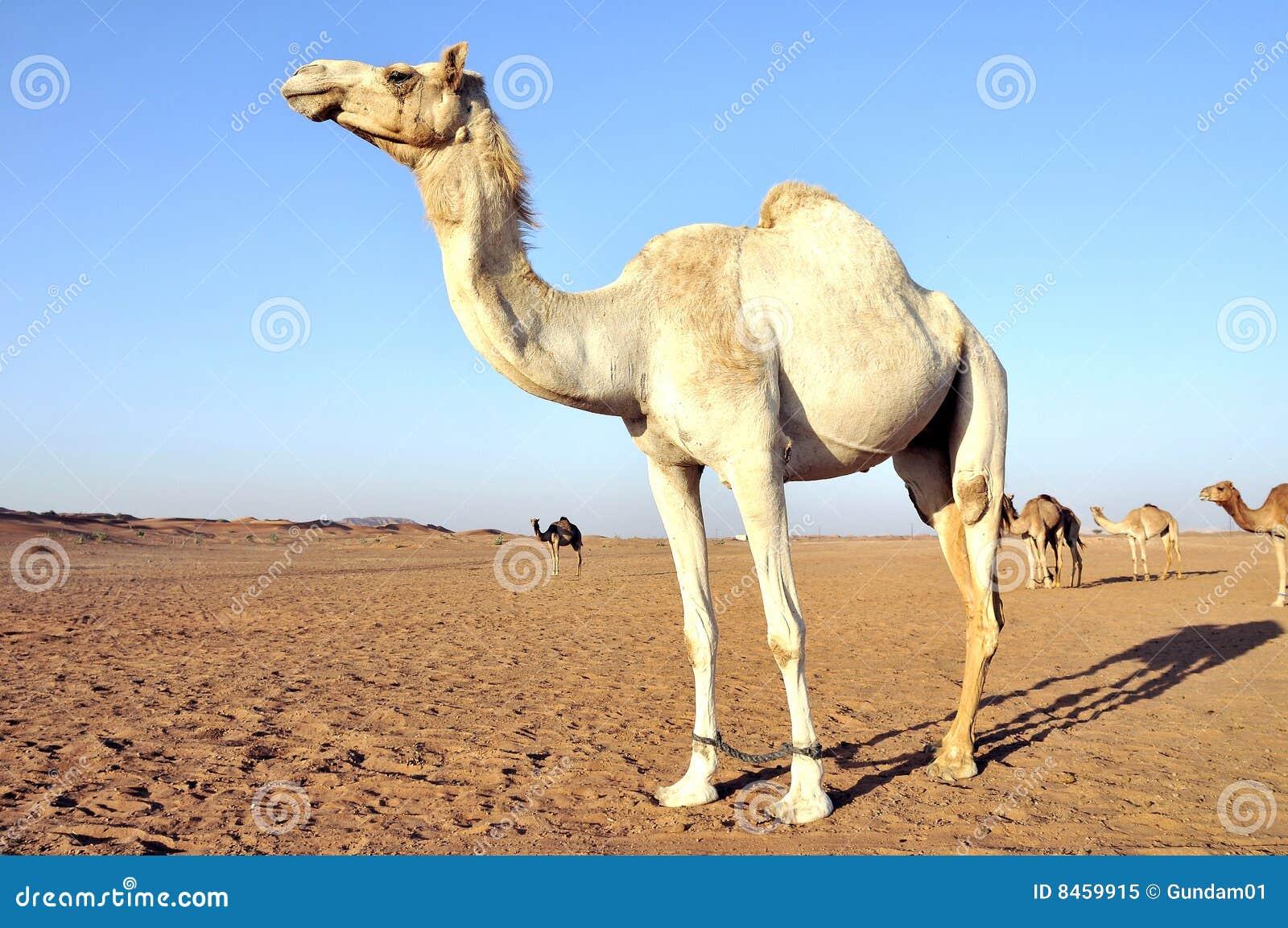 Arabisk kamel