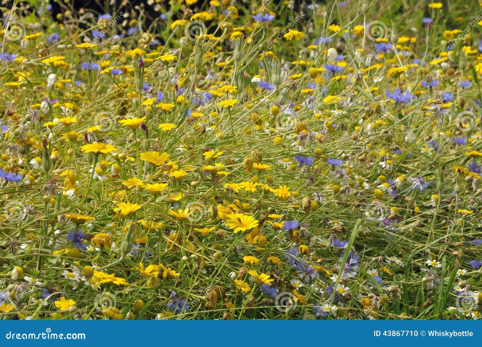 Arable Wild Flowers Stock Photo Image Of Flora Rare 43867710