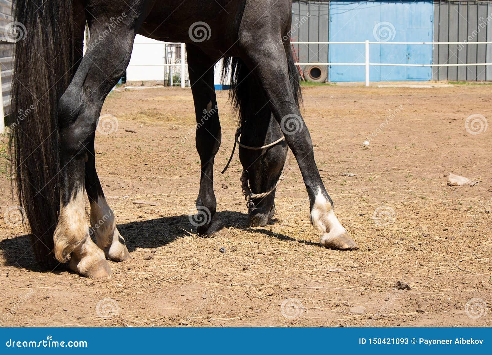 Arabska końska łasowanie trawa na rancho