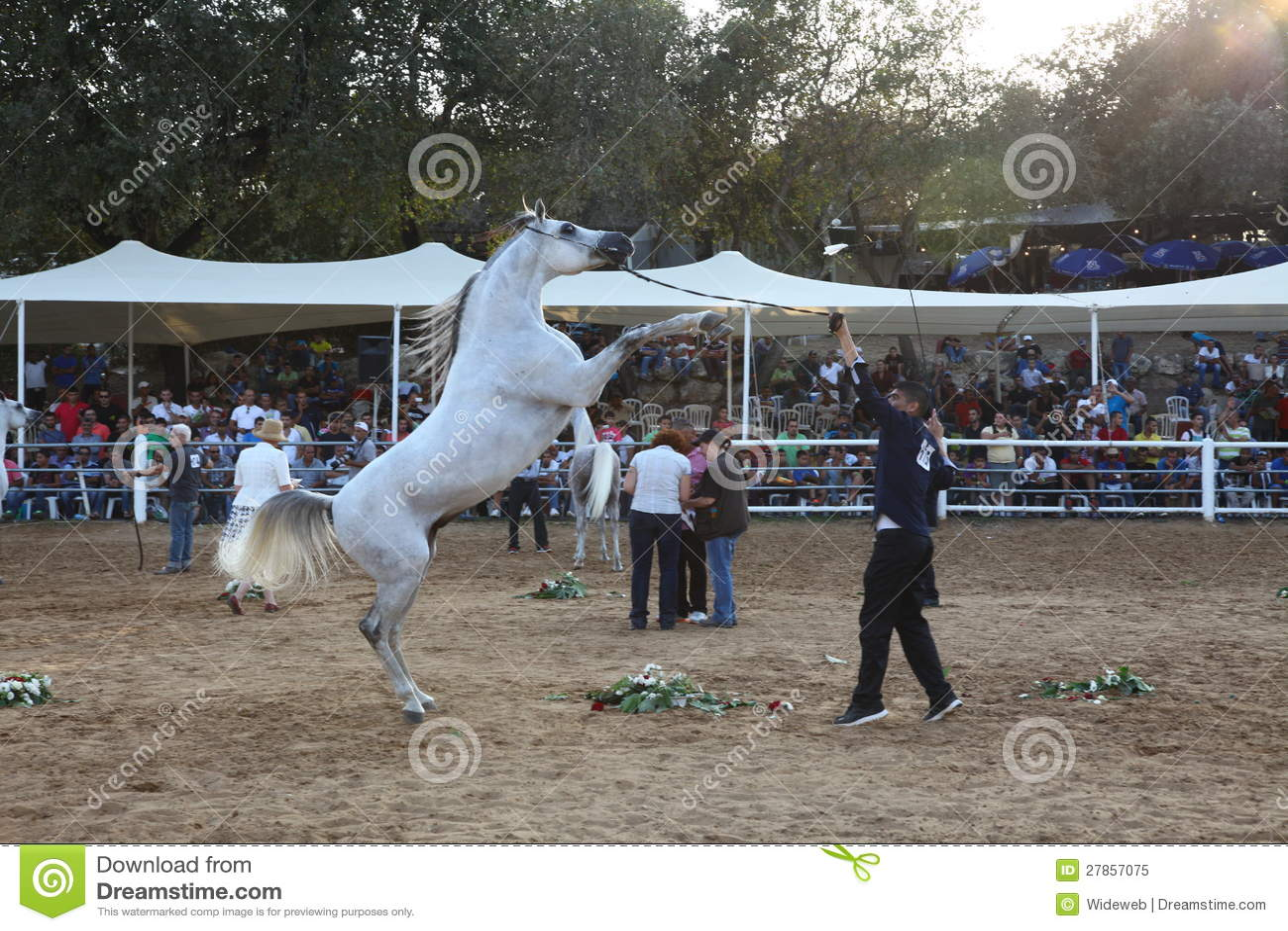 Arabski koński przedstawienie i mistrzostwo
