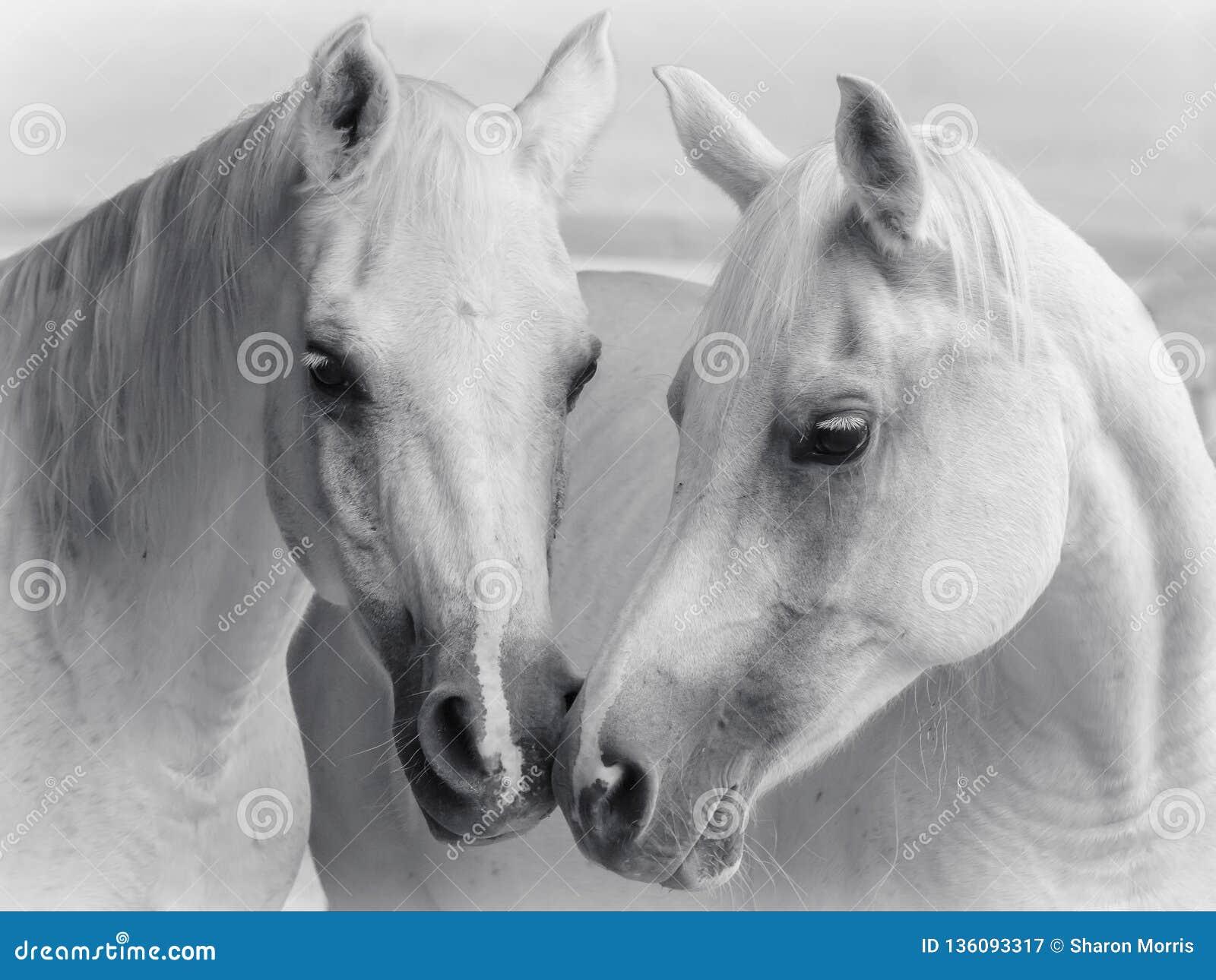 Arabski koni całować