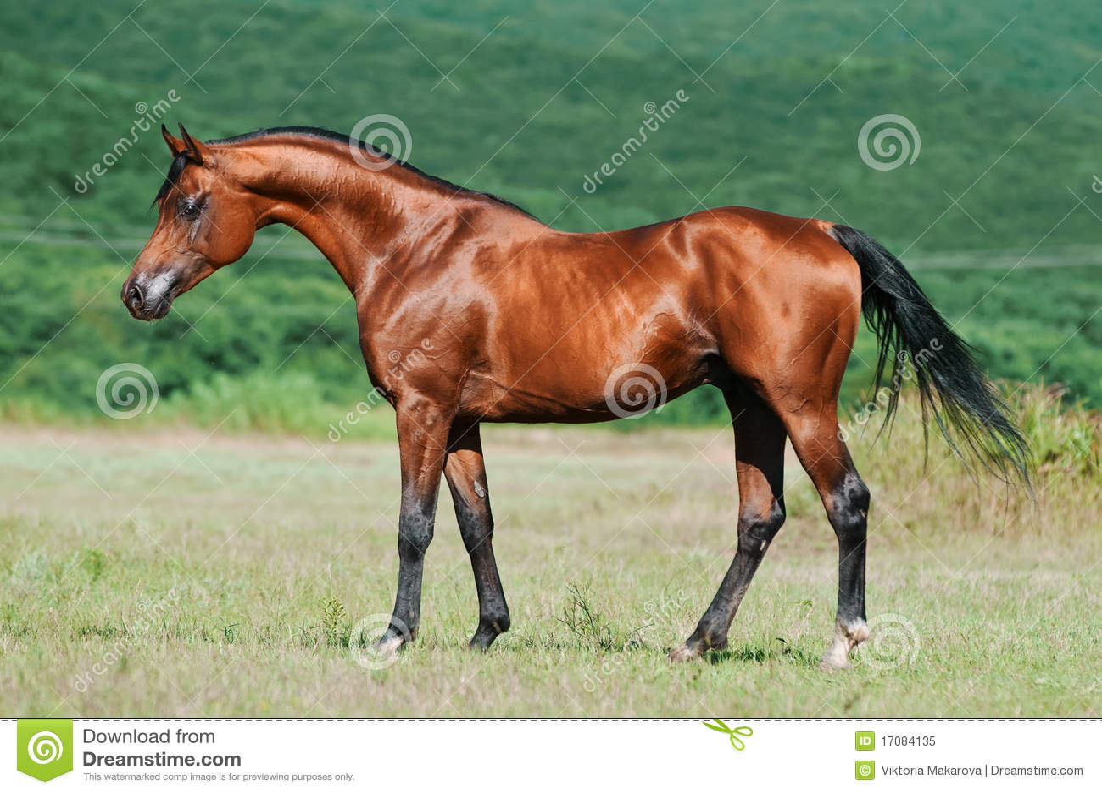 Arabski podpalany koń