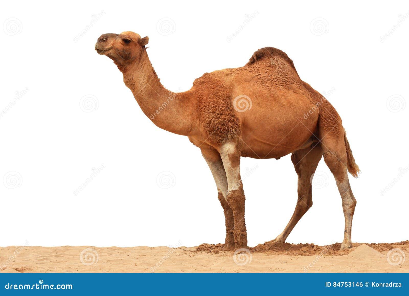 Arabski wielbłąd odizolowywający