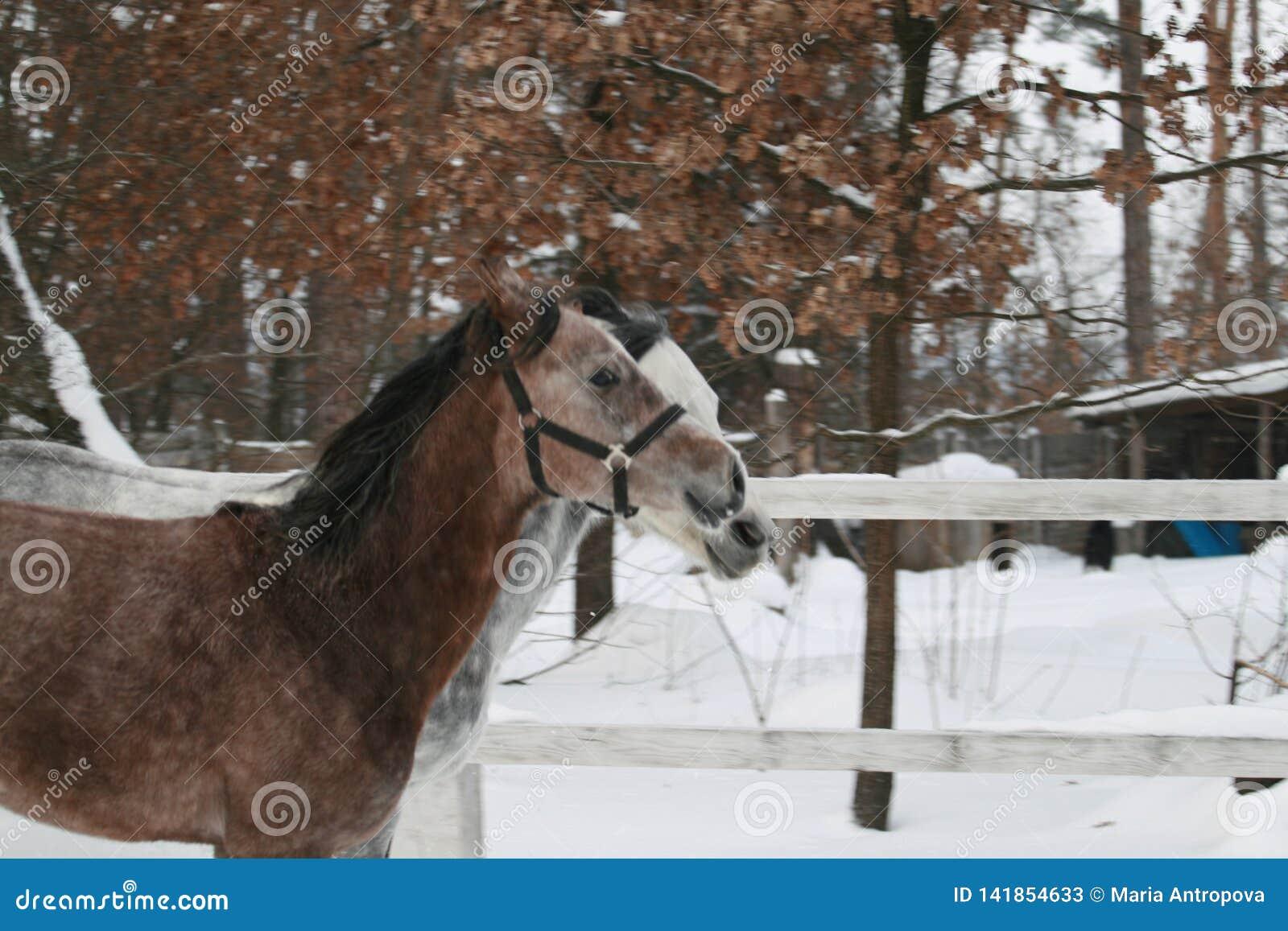 2 Arabskiego konia synchronously galopuje w śniegu w padoku