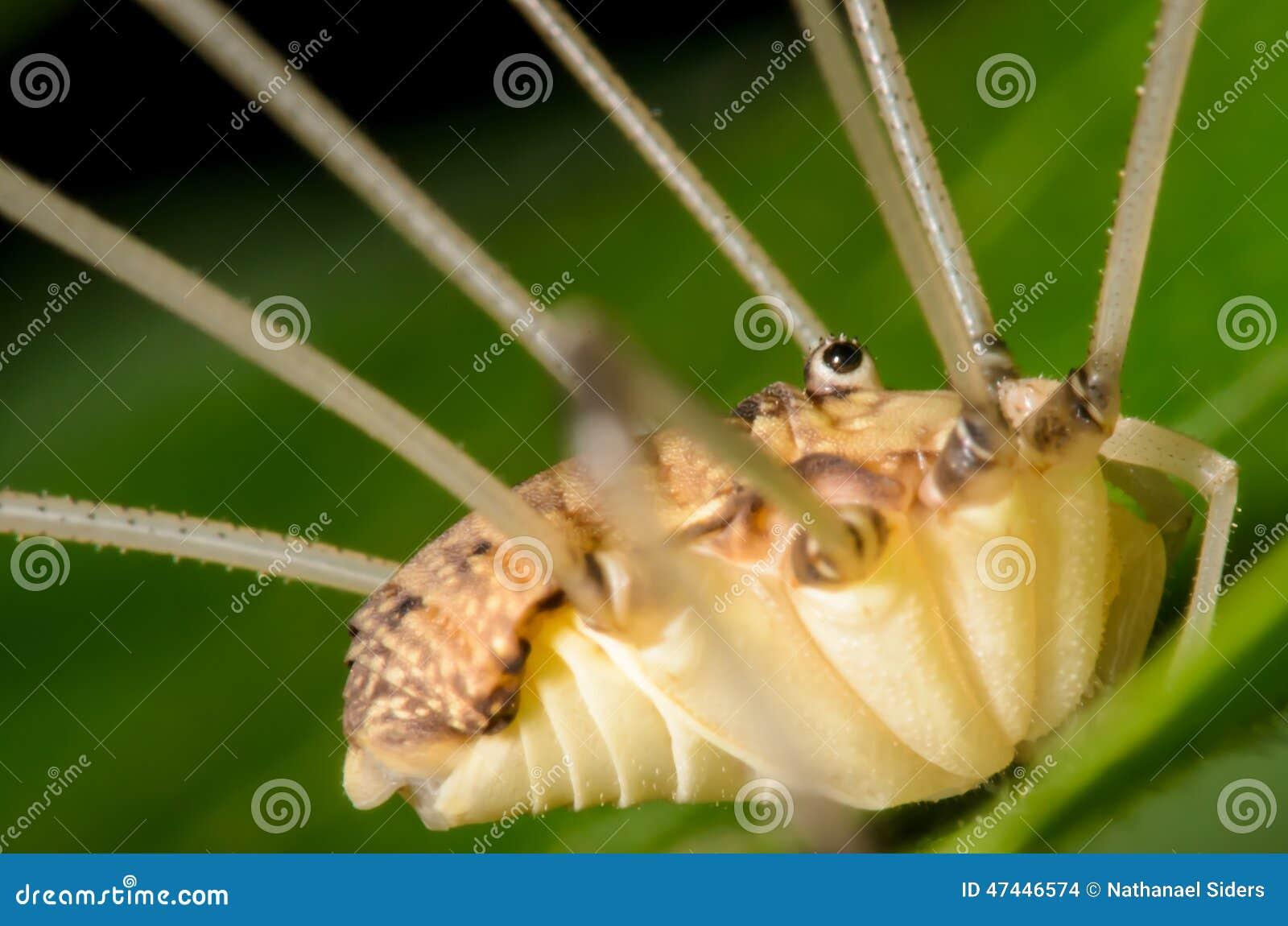 Arachnide de jambe de papa de moissonneur long