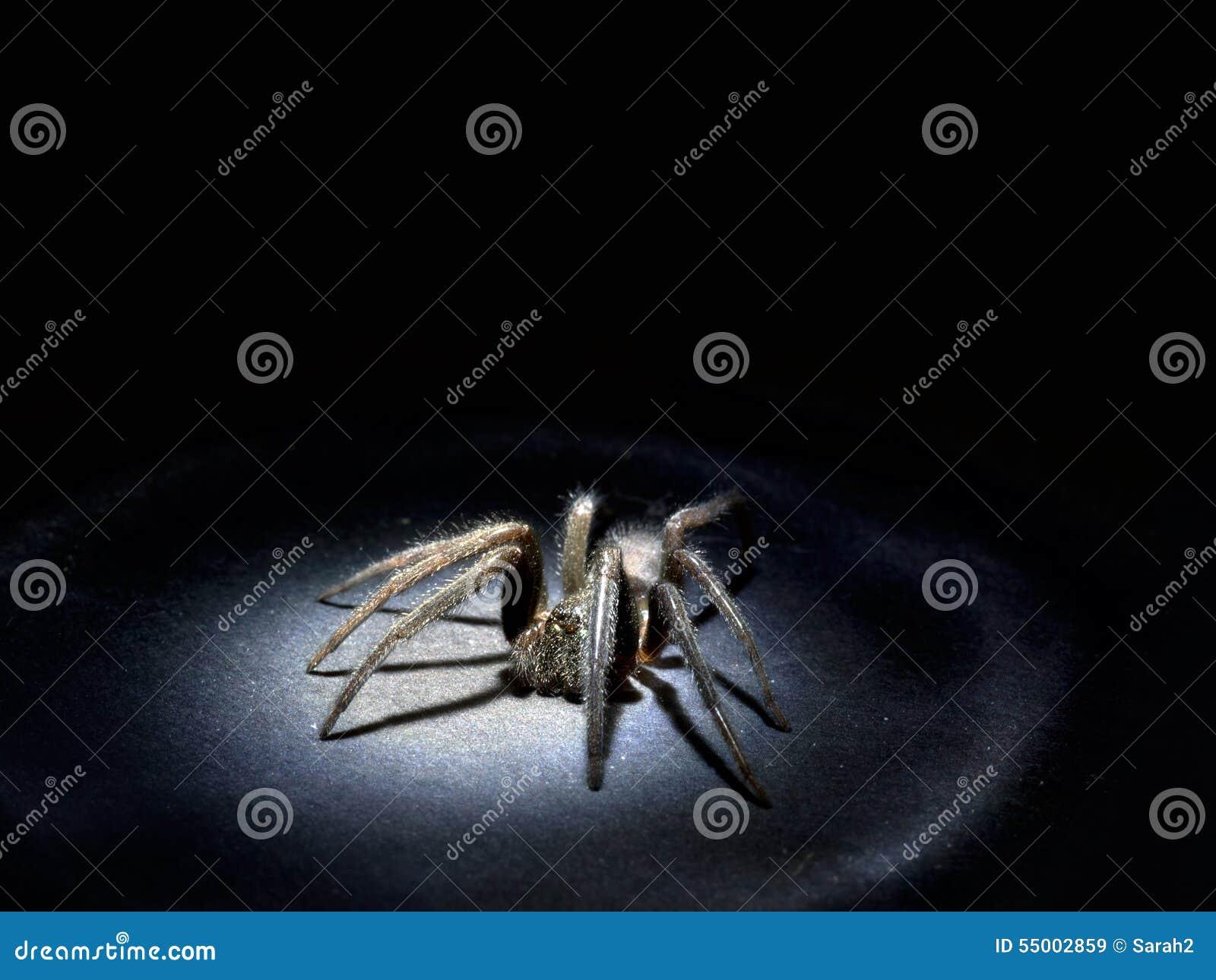 Arachnophobia-Konzept Große haarige Spinne im Scheinwerfer Makro
