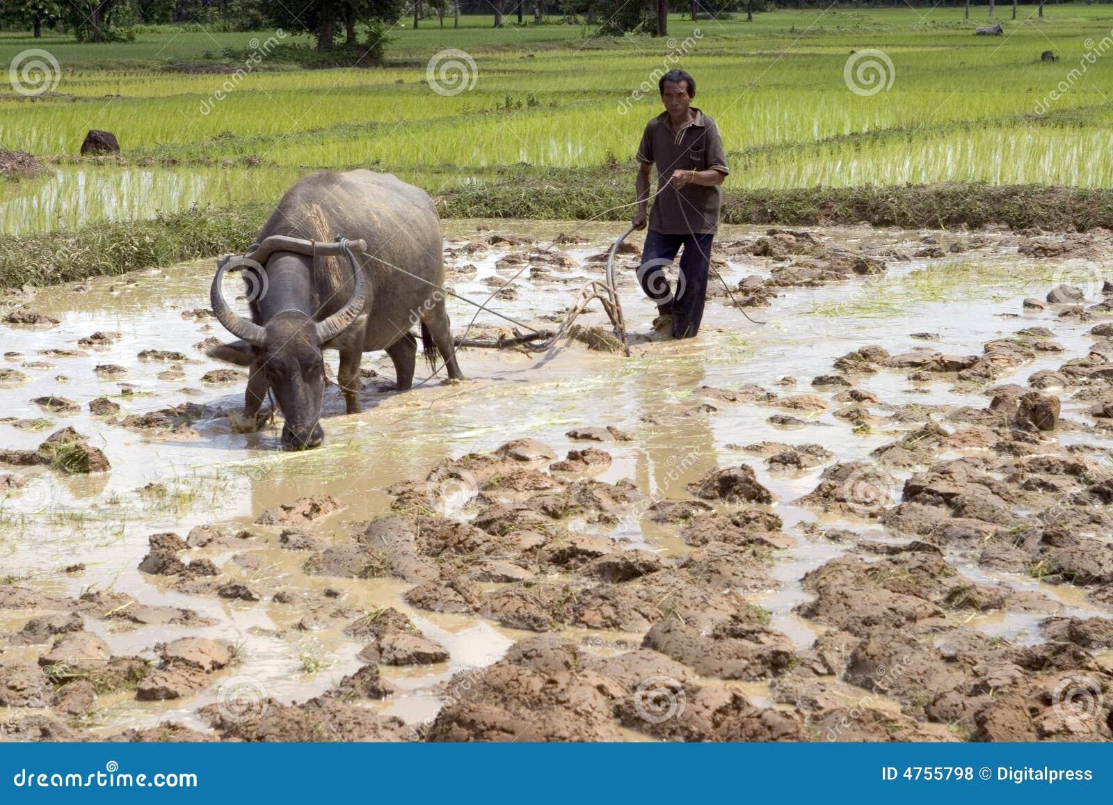 Arado con el búfalo de agua
