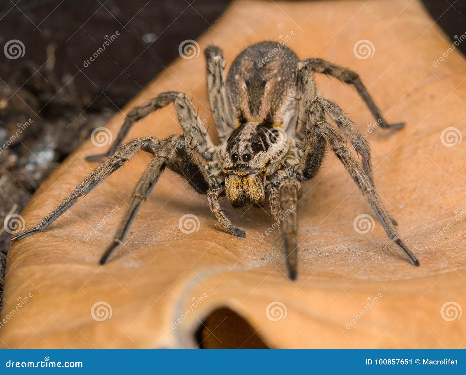 Araignée avec son sac à oeufs