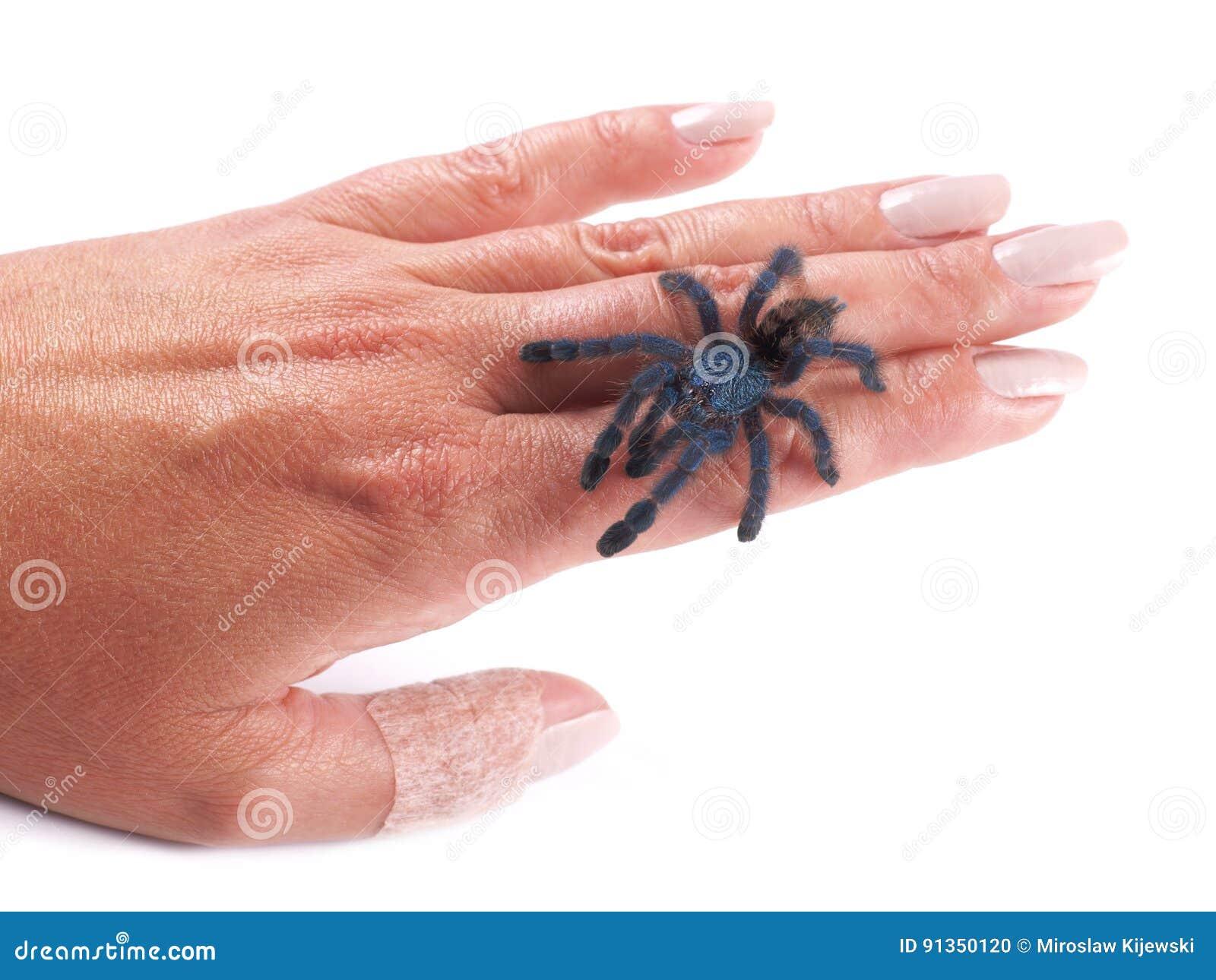 Araignée Avicularia versicolor, une jeune marche individuelle de tarentule sur une main du ` s de femme