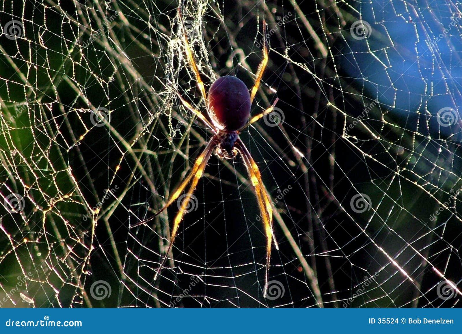 Araignée d or de corps rond
