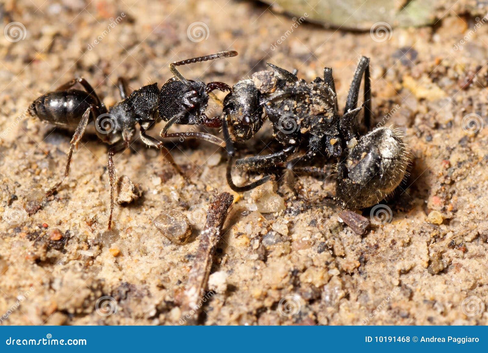 Araignée de attaque de fourmi
