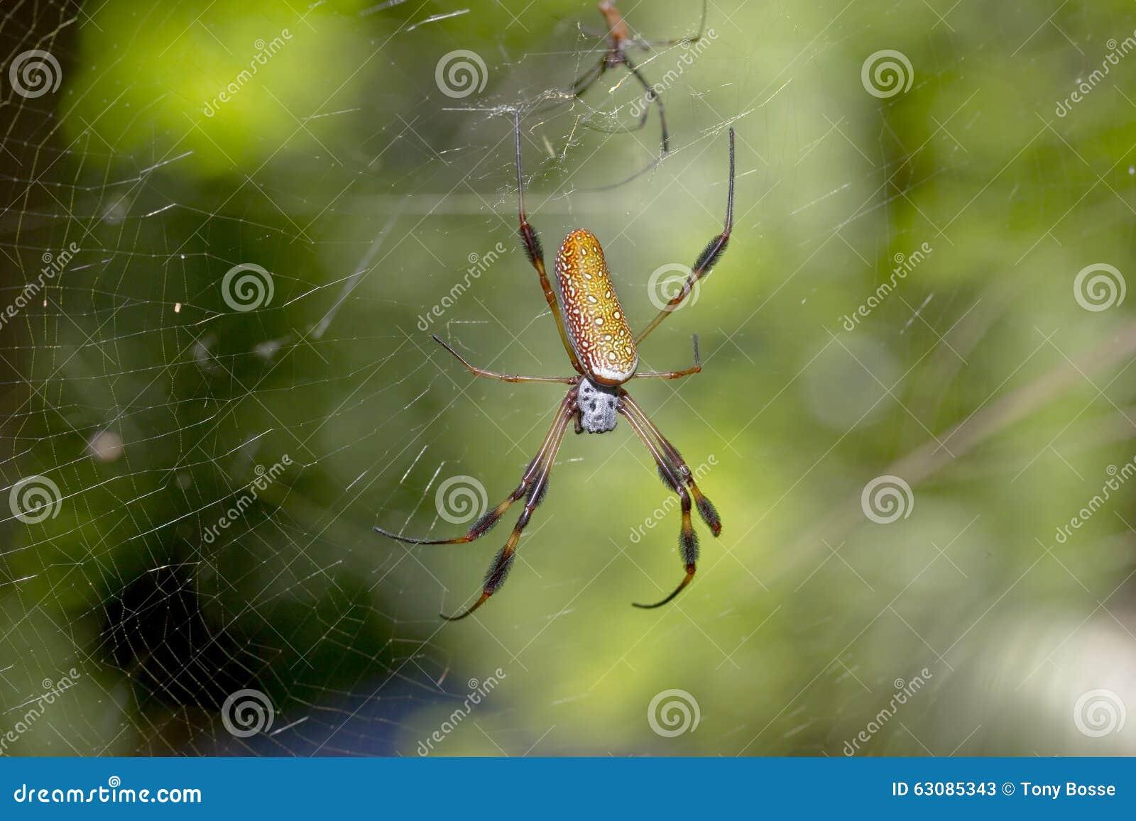 Download Araignée de banane image stock. Image du animal, spiderweb - 63085343