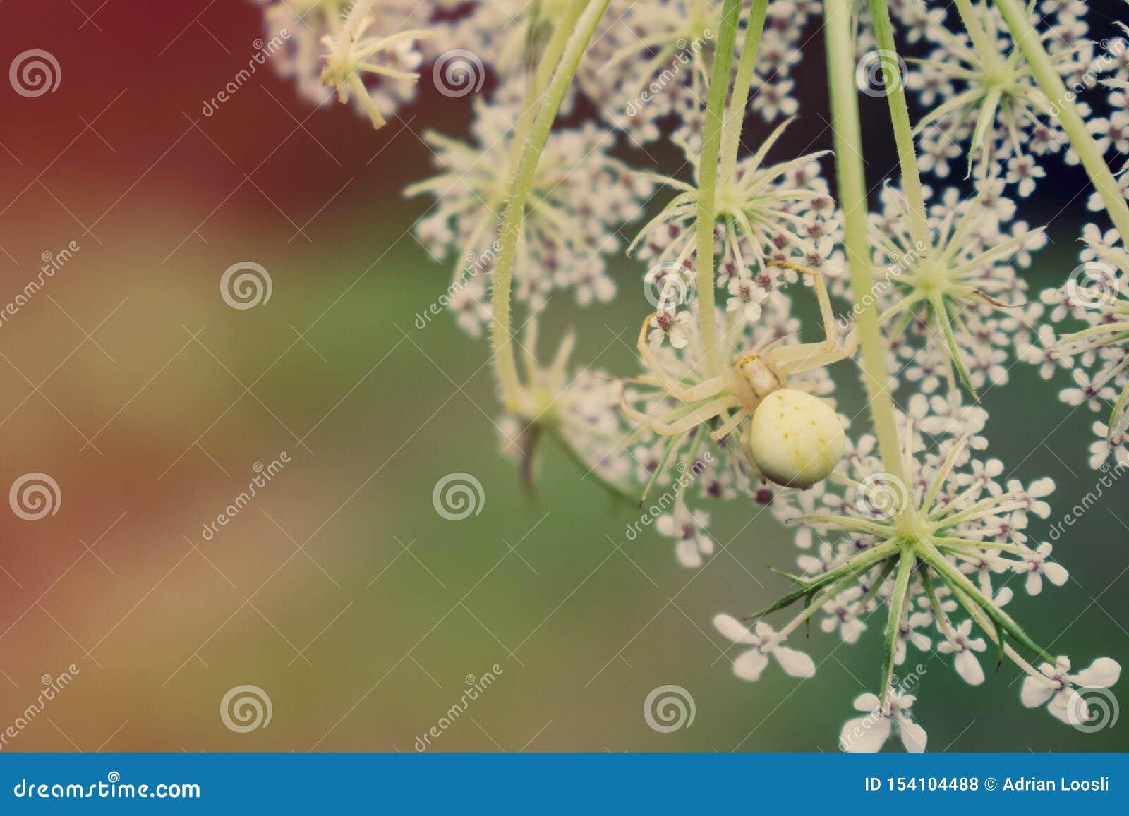 Araignée de crabe sur la fleur blanche