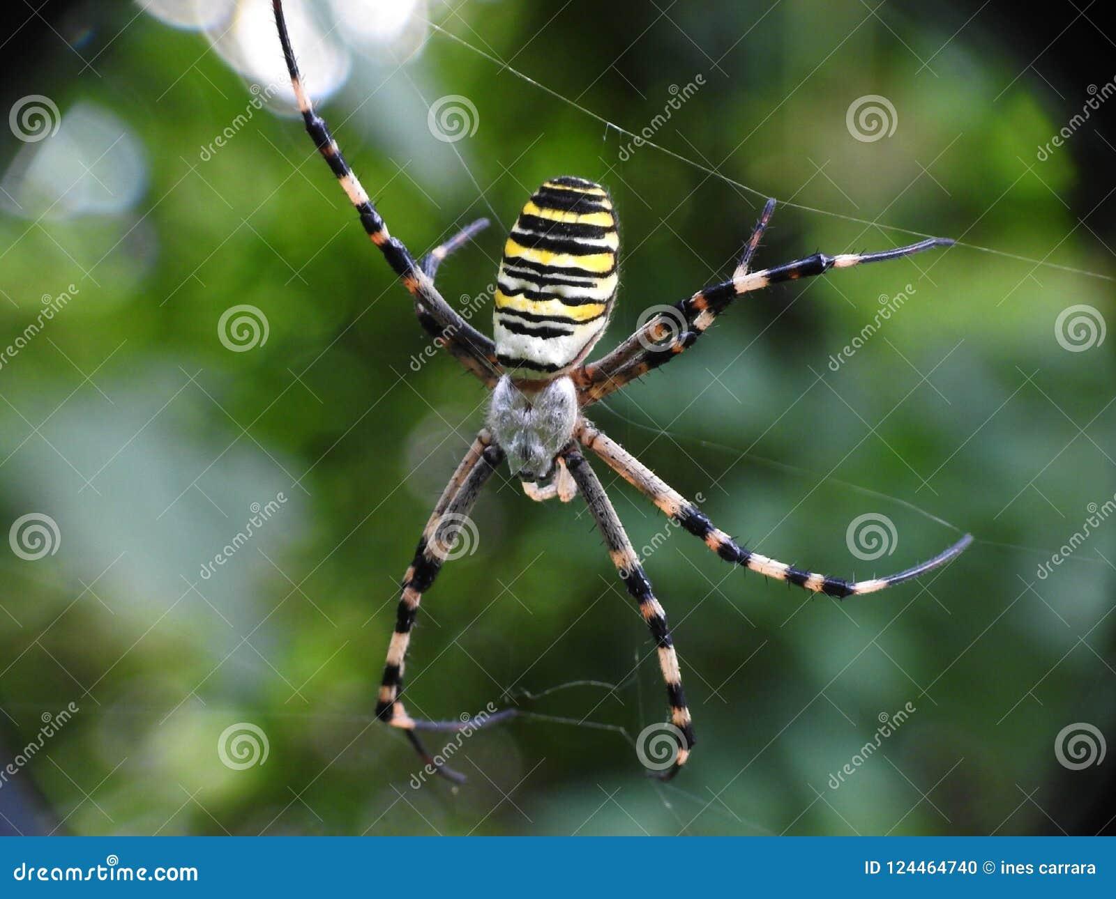 Araignée de guêpe