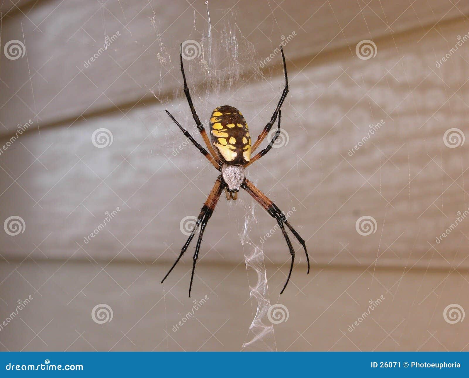 Araignée de jardin jaune femelle dans le Web