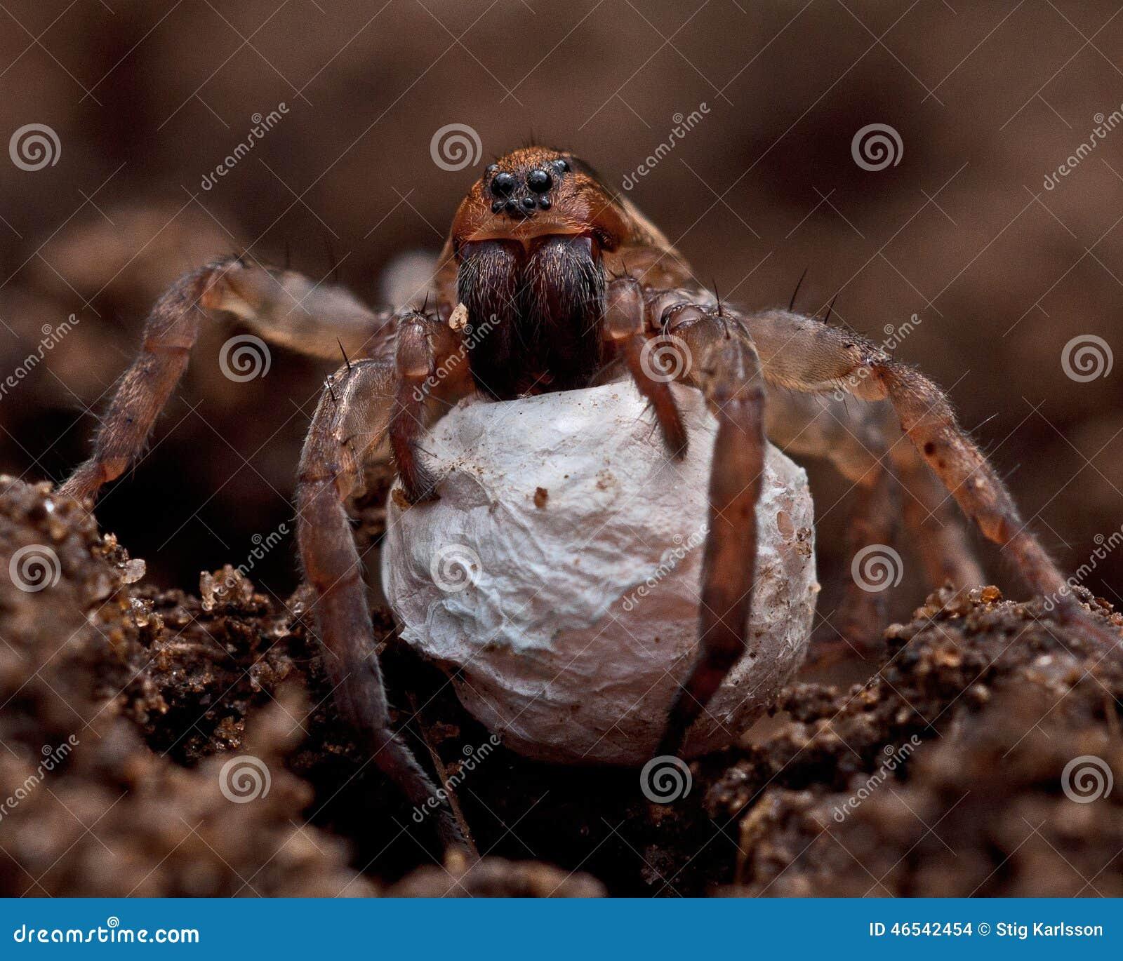 Araignée de loup, PS de Trochosa de Lycosidae