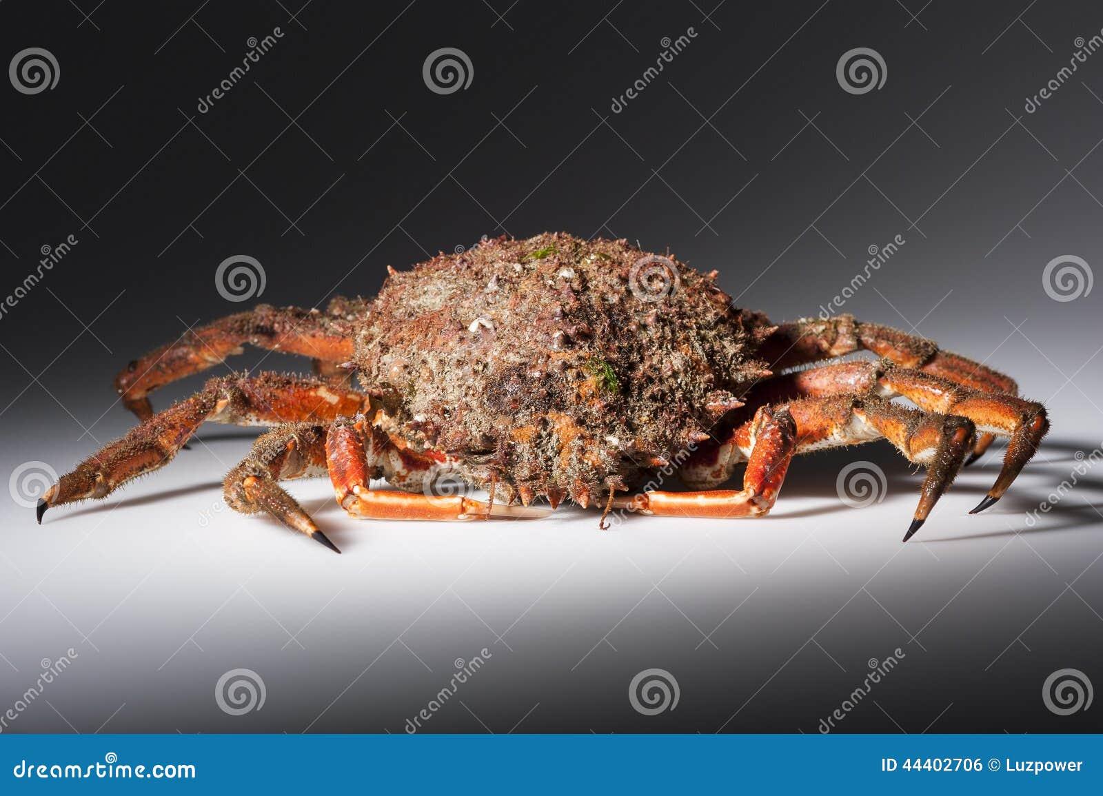 Araign e de mer europ enne crustac fruits de mer orange rouge d 39 isolement photo stock - Araignee rouge savon noir ...