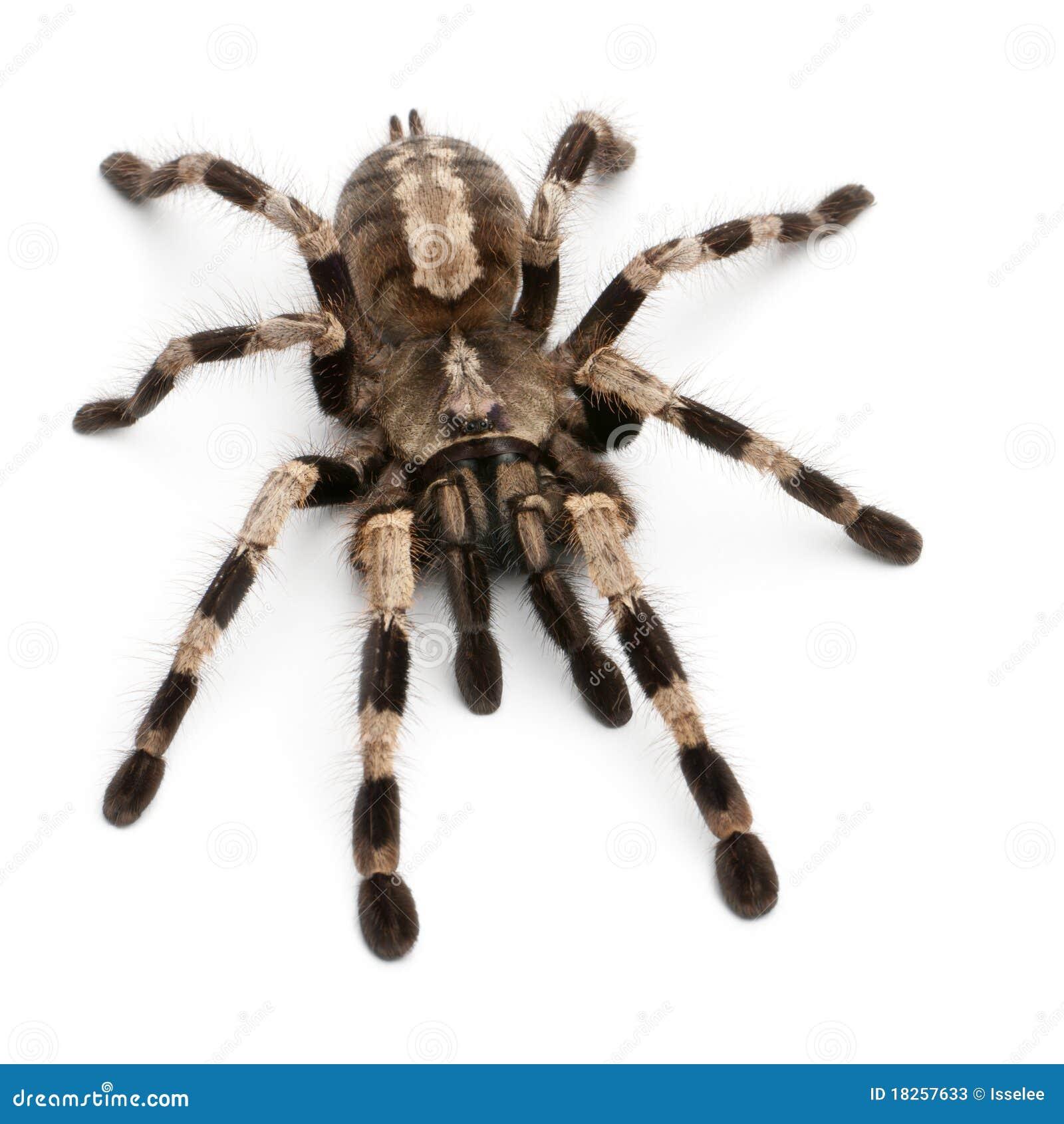 Araignée de Tarantula, Poecilotheria Miranda