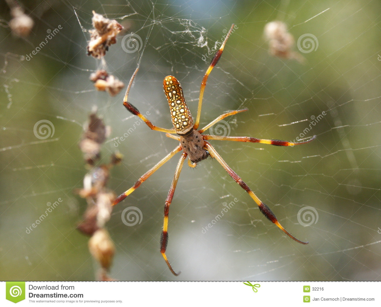 Araignée en soie d or de tisserand de corps rond