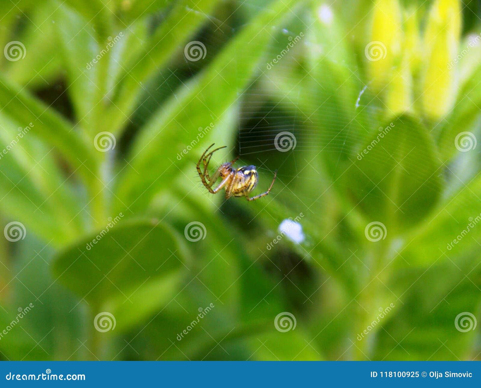 Araignée en Web du ` s d araignée