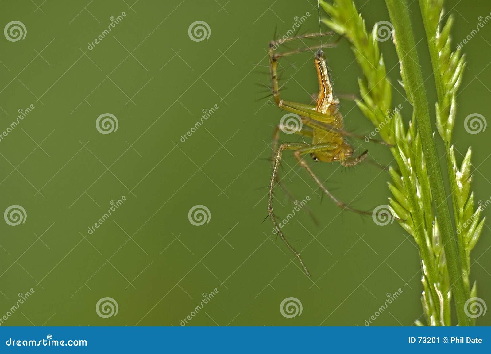 Araignée et herbe