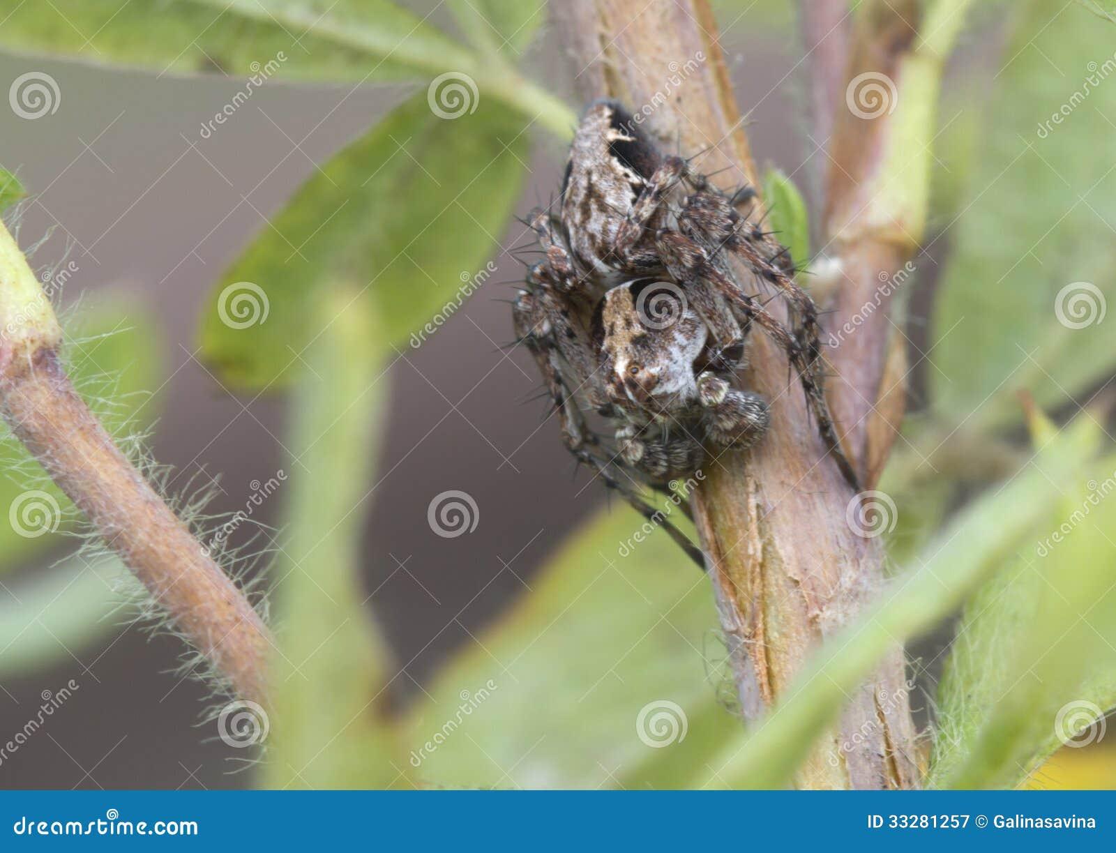 Araignée-Lynx OXYOPES RAMOSUS