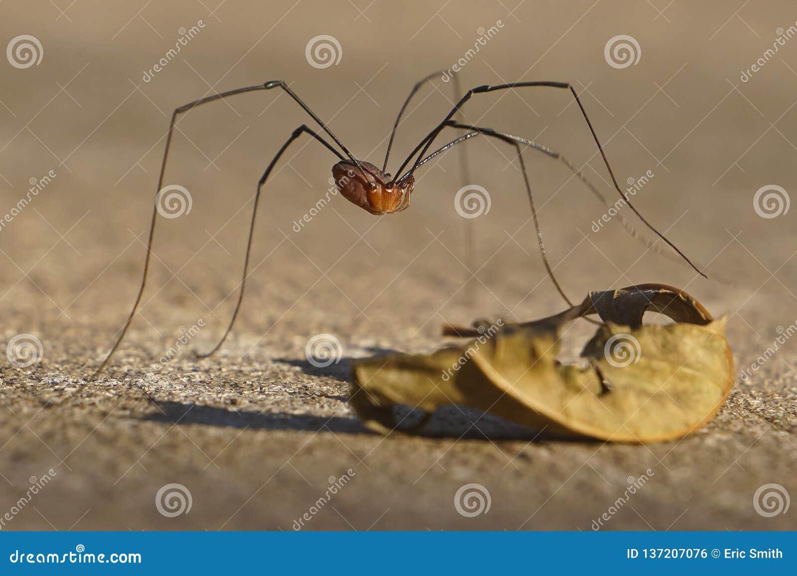 Araignée orientale de moissonneur