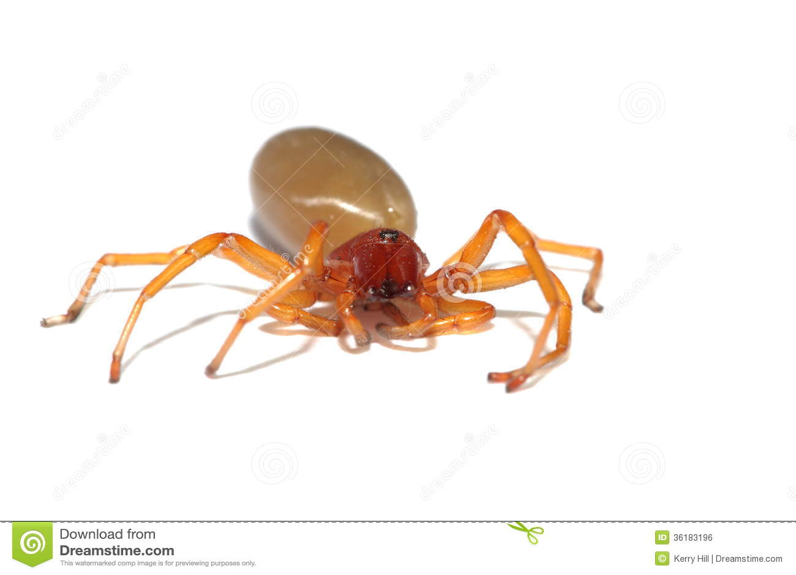 araign e rouge de cloporte image libre de droits image 36183196. Black Bedroom Furniture Sets. Home Design Ideas
