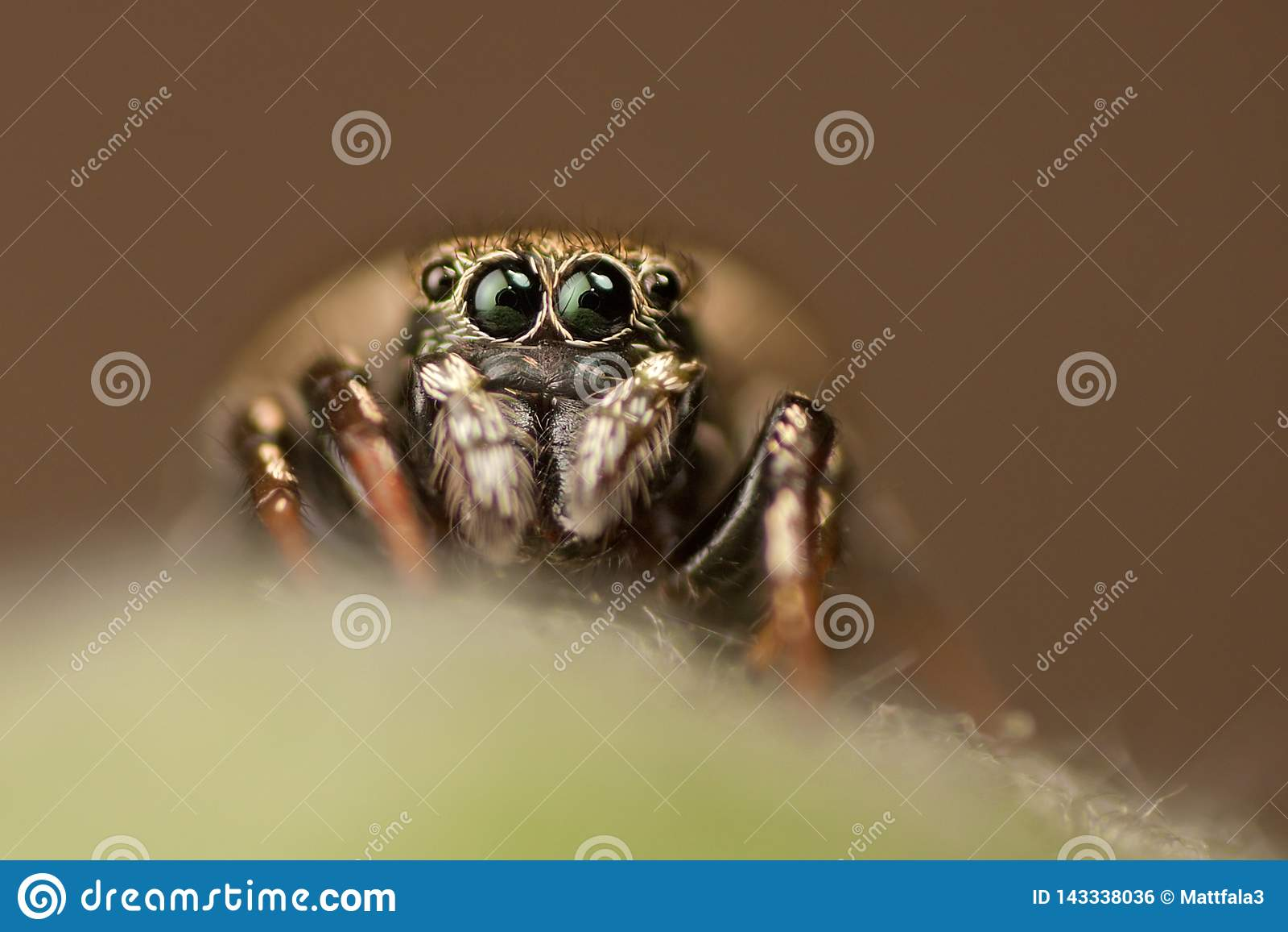 Araignée sautante regardant la caméra