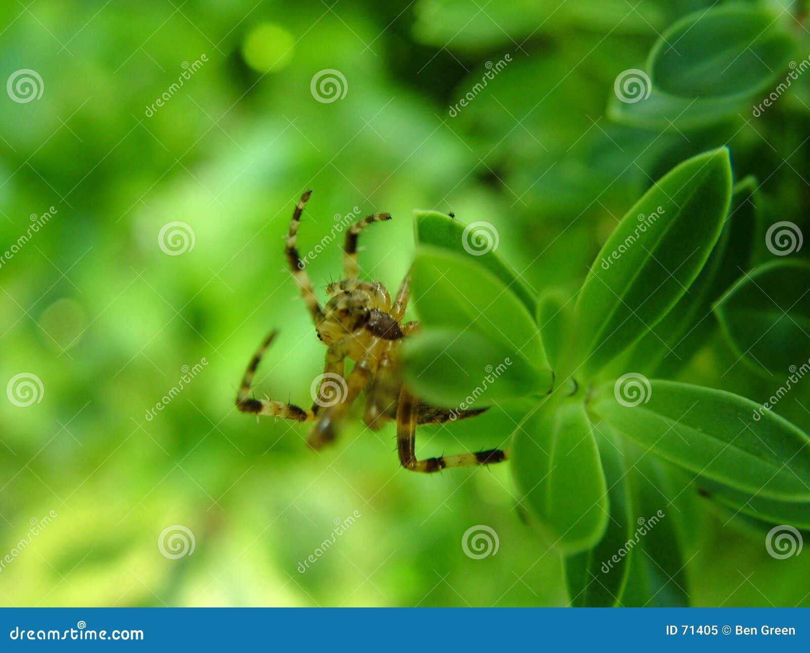 Araignée sur des lames