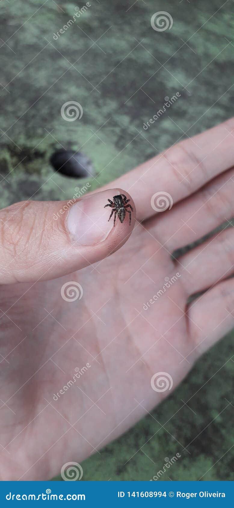 Araignée sur la main - gens du pays florest sur Itamatamirim, intérieur de pernambuco, Brésil