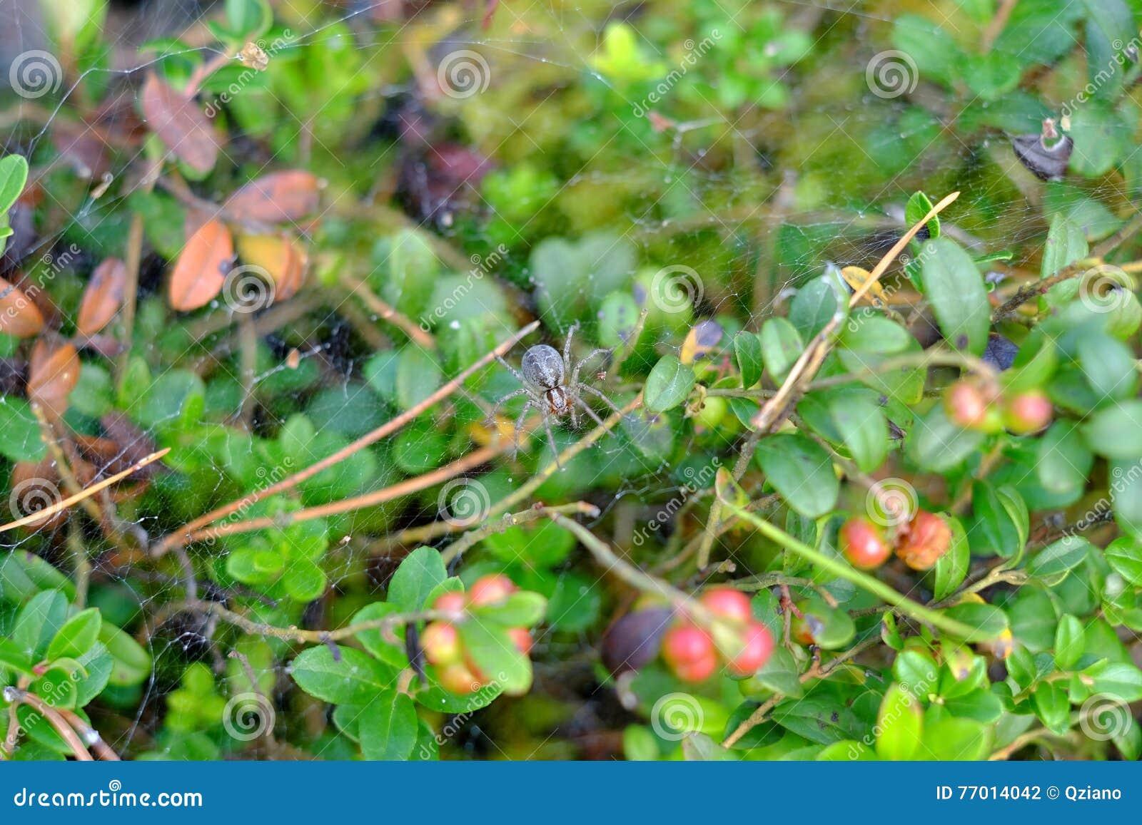 Araignée sur le Web dans la forêt