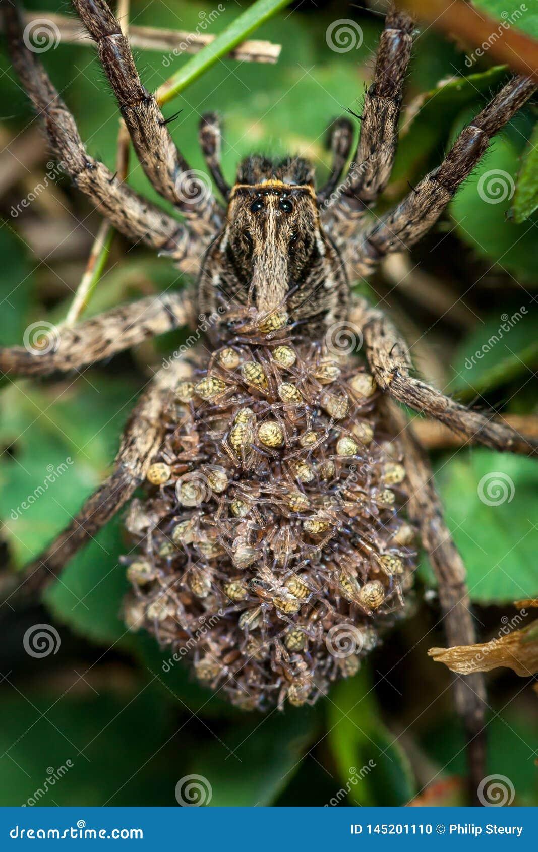 Araign?e de loup femelle avec des b?b?s