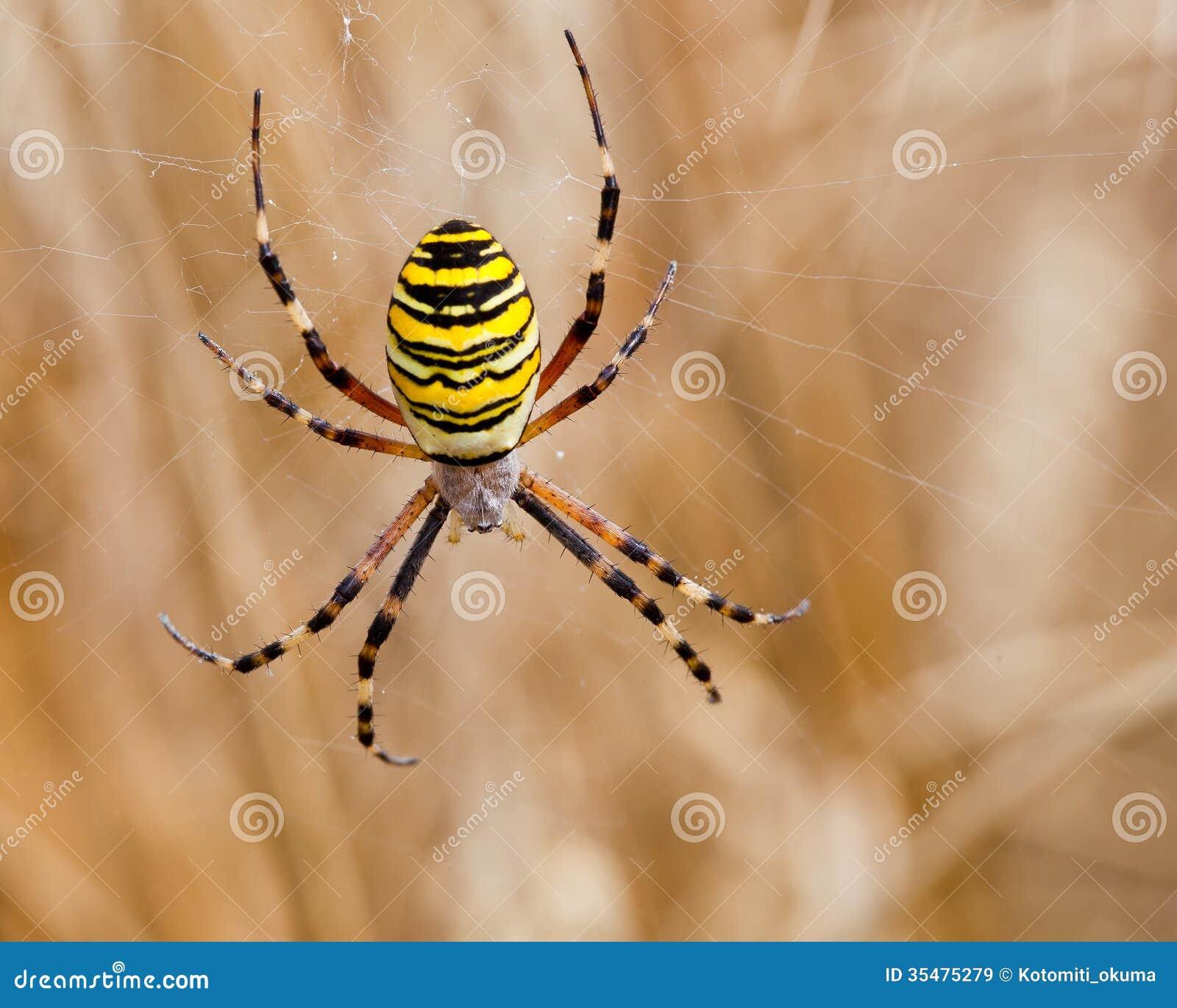 Araign e jaune noire dans sa toile d 39 araign e images libres de droits image 35475279 - Toile d araignee en papier ...