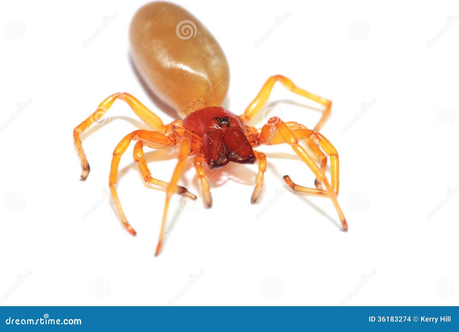 araign e rouge de cloporte images stock image 36183274. Black Bedroom Furniture Sets. Home Design Ideas