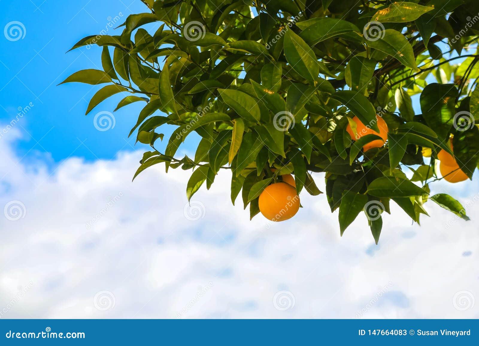 Arance che crescono su un albero davanti al bello cielo nuvoloso blu - primo piano e stanza per la copia