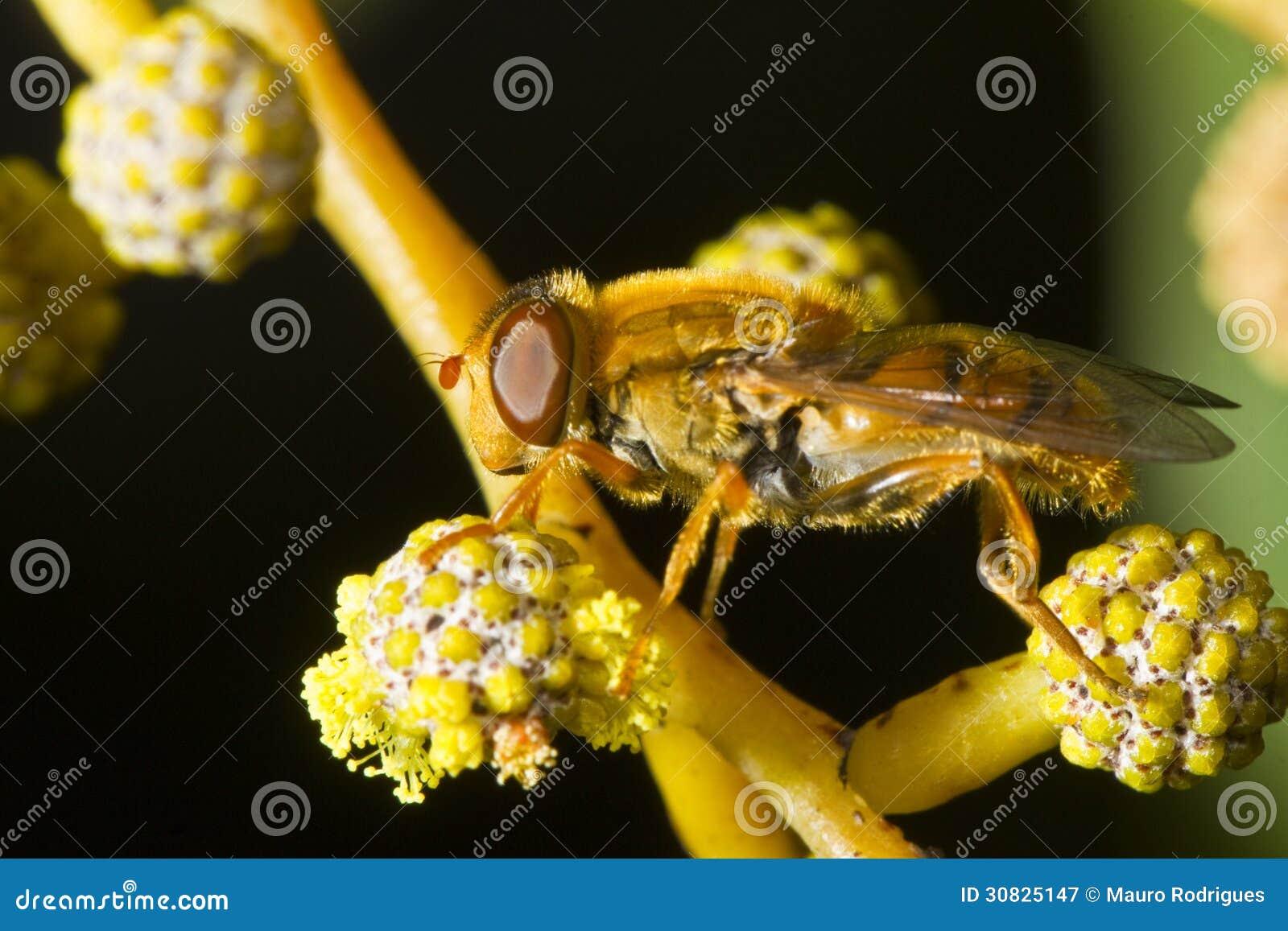 Arancia hoverfly