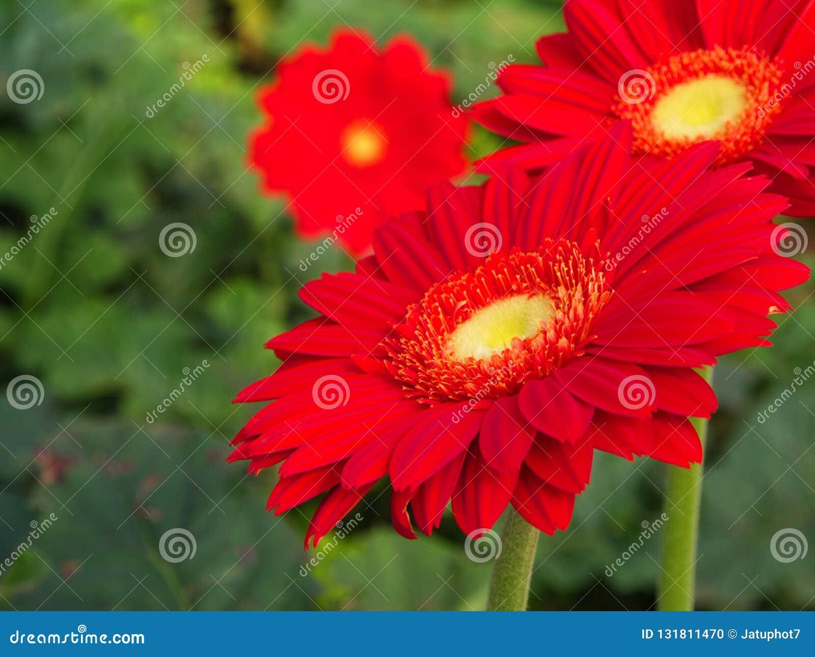 Arancia variopinta di rossi carmini e margherita gialla della gerbera nel giardino con luce naturale di mattina Viaggio nella cit