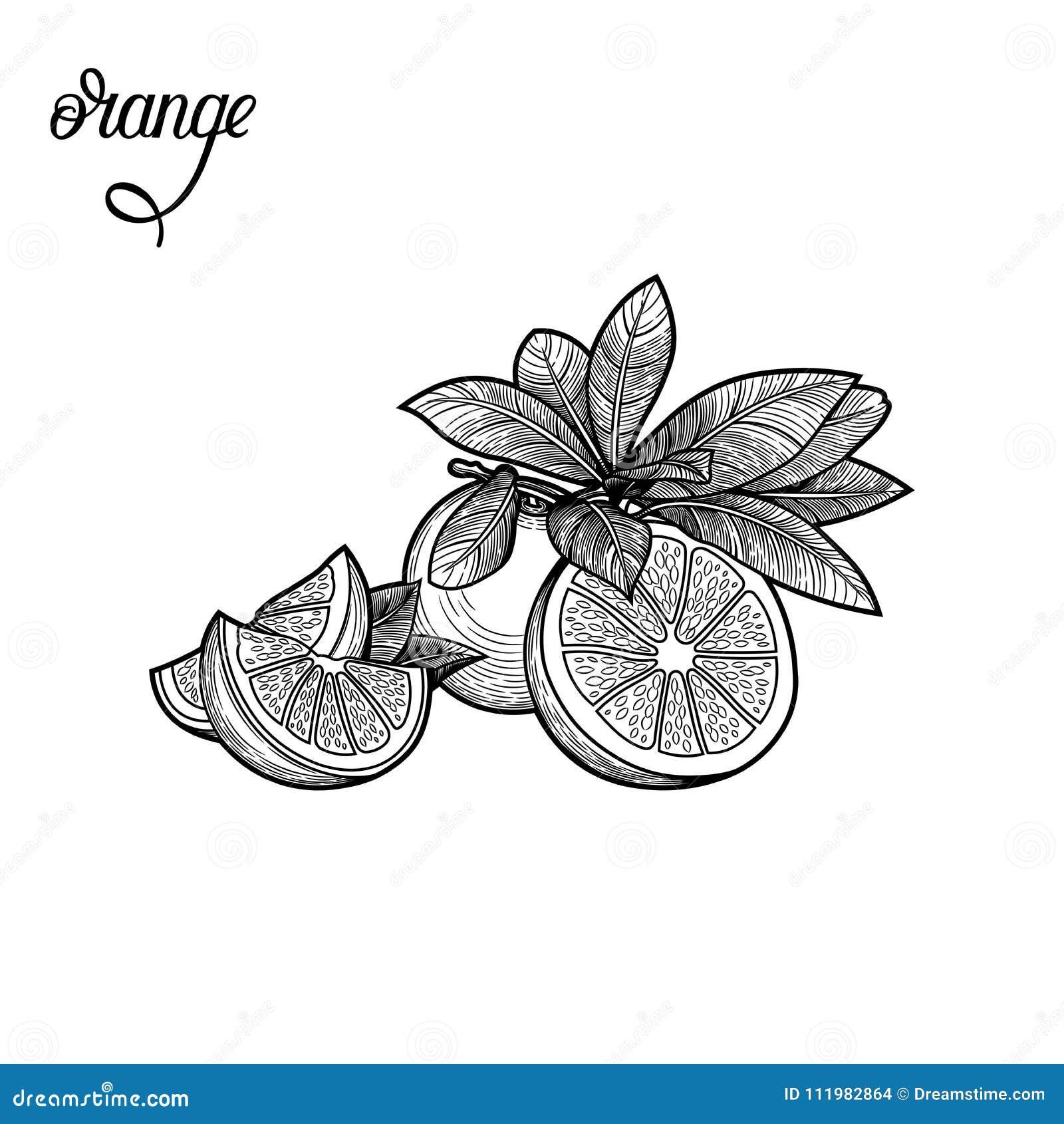 Arancio Illustrazione di vettore
