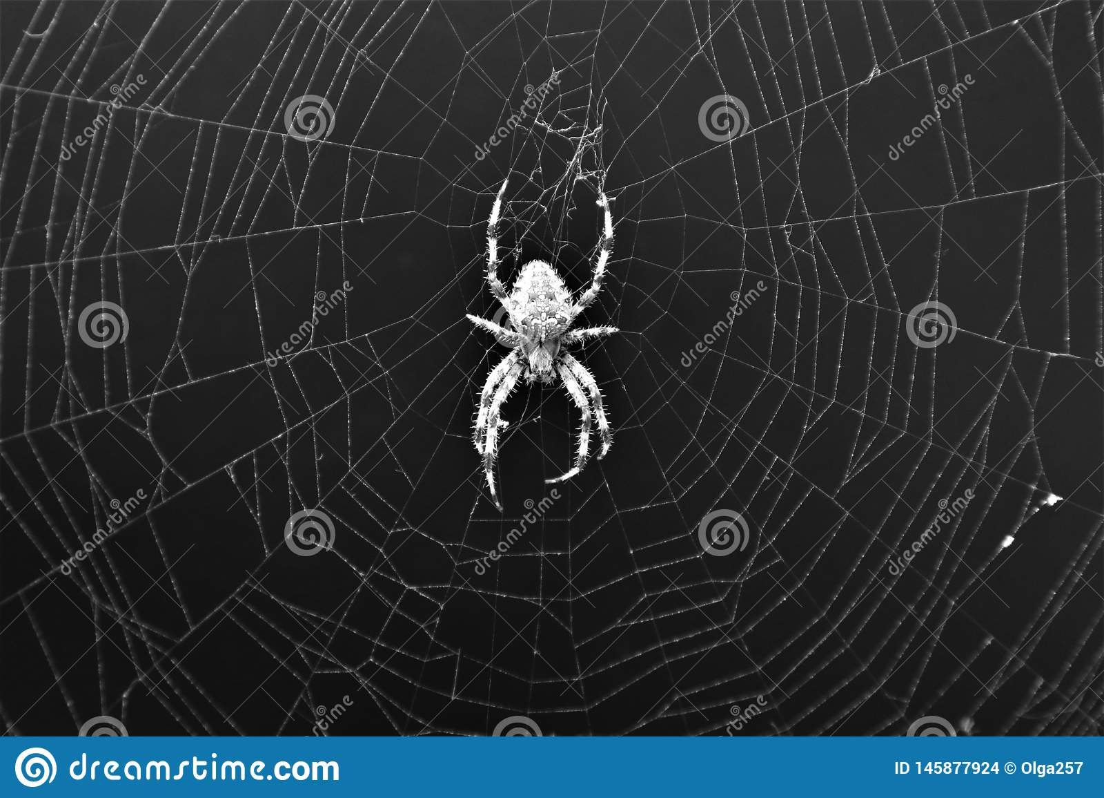Araneus transversal europeu Diadematus da aranha na Web