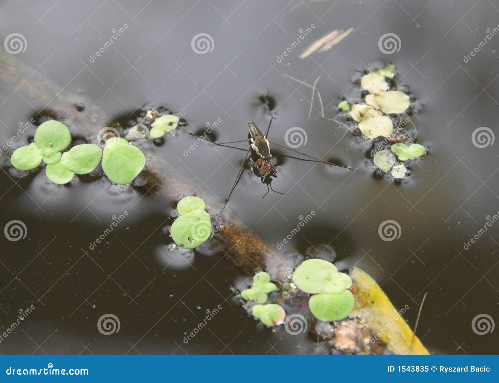 Aranha da água
