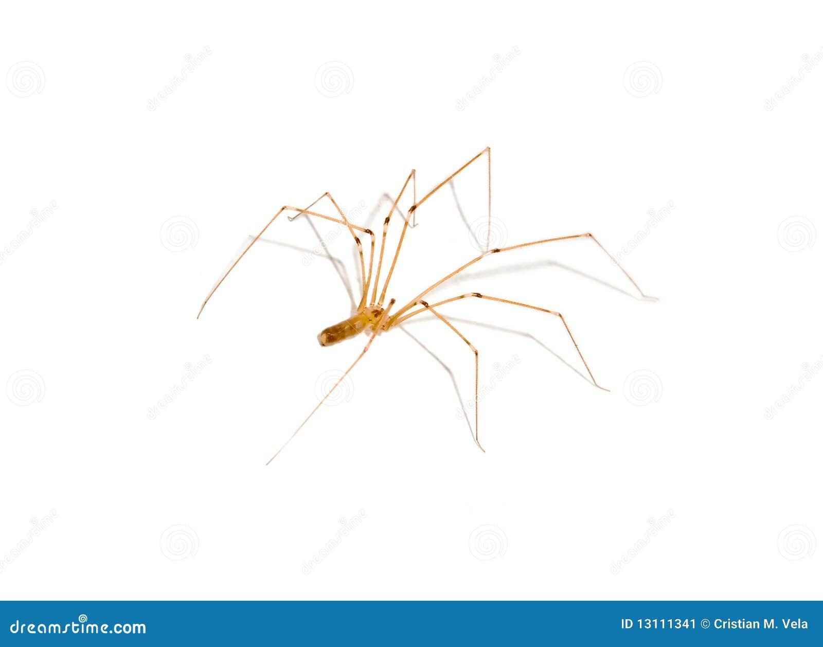Aranha da casa