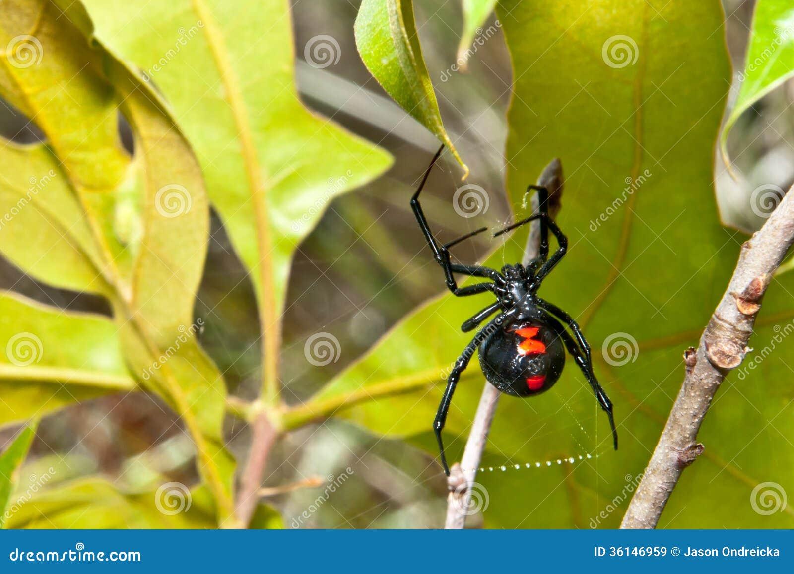 Aranha da viúva negra