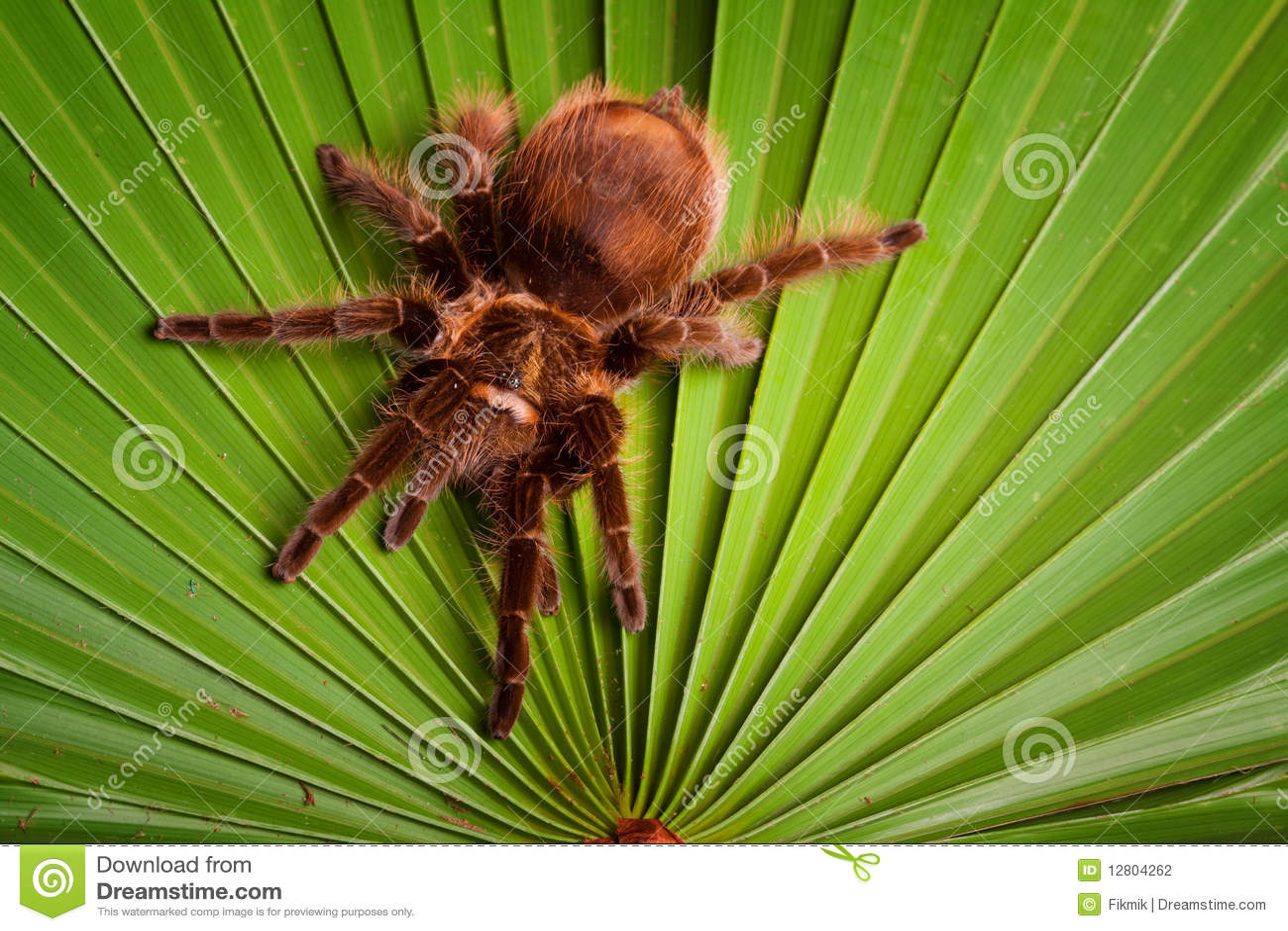 Aranha de Gigant na folha
