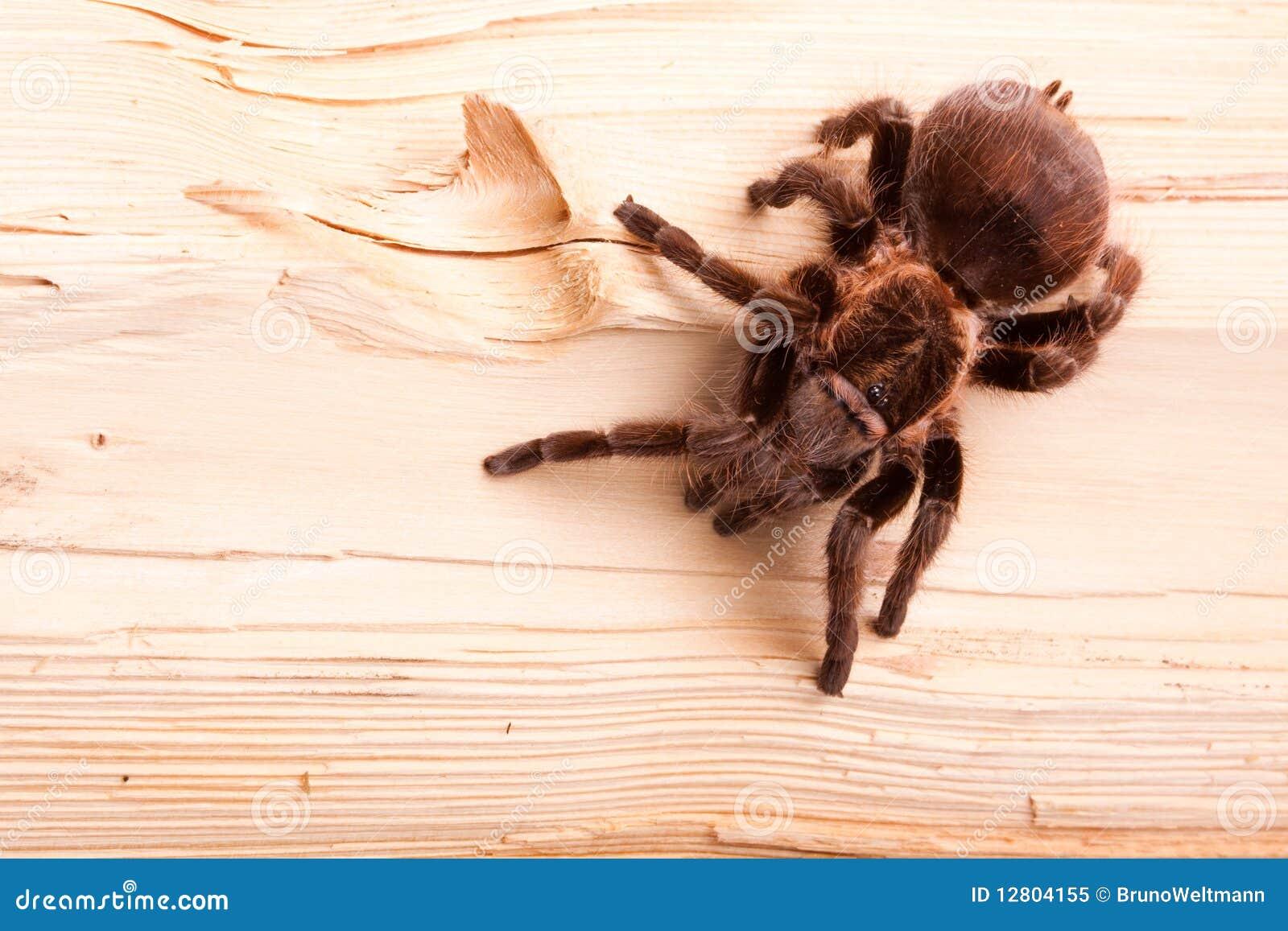 Aranha de Gigant na madeira