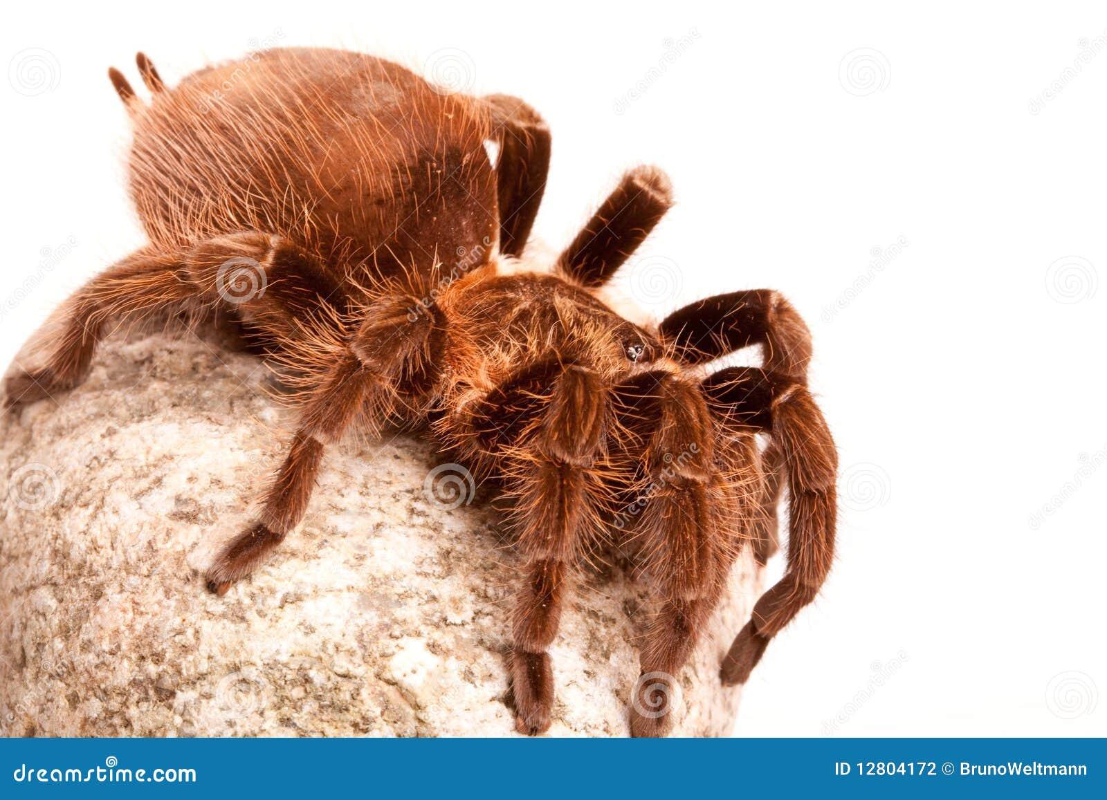Aranha de Gigant na rocha