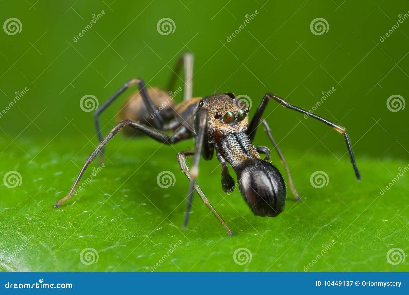 Aranha de salto Formiga-mímica