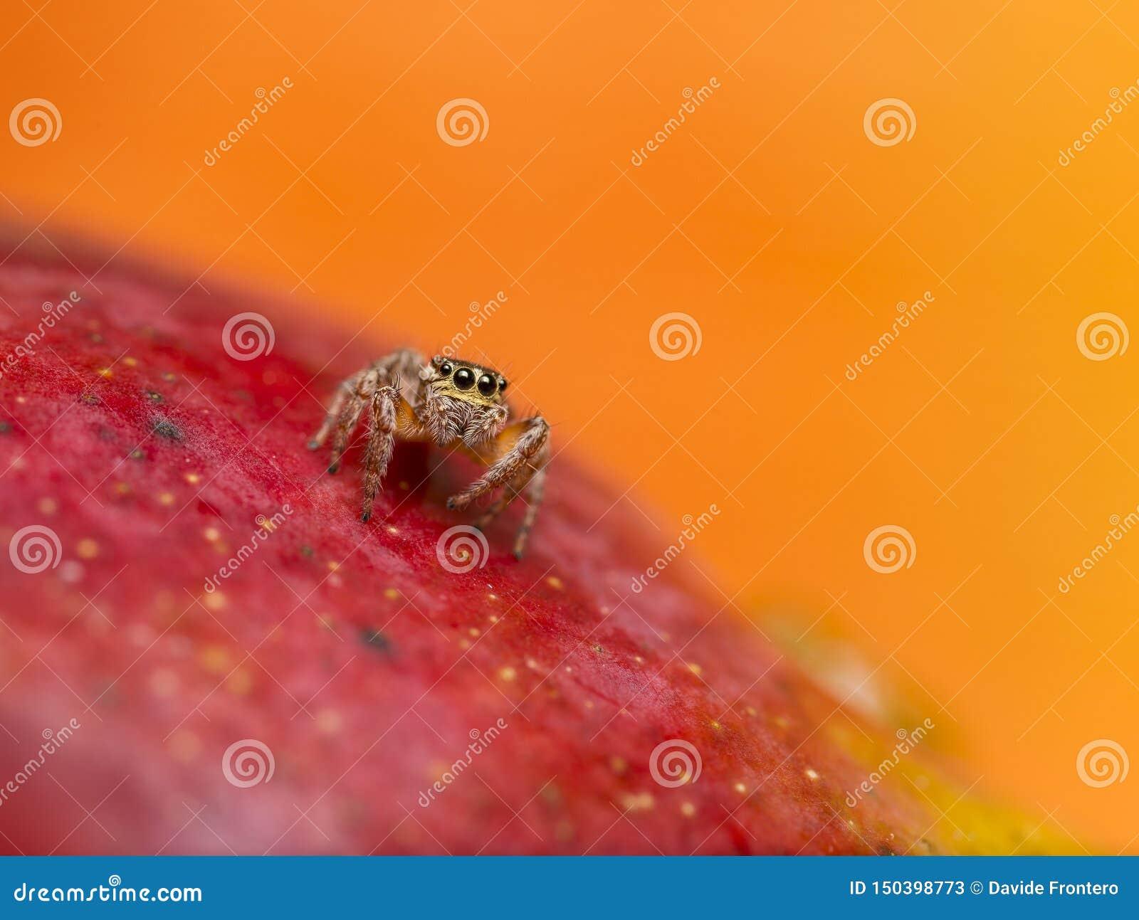 Aranha de salto na manga vermelha