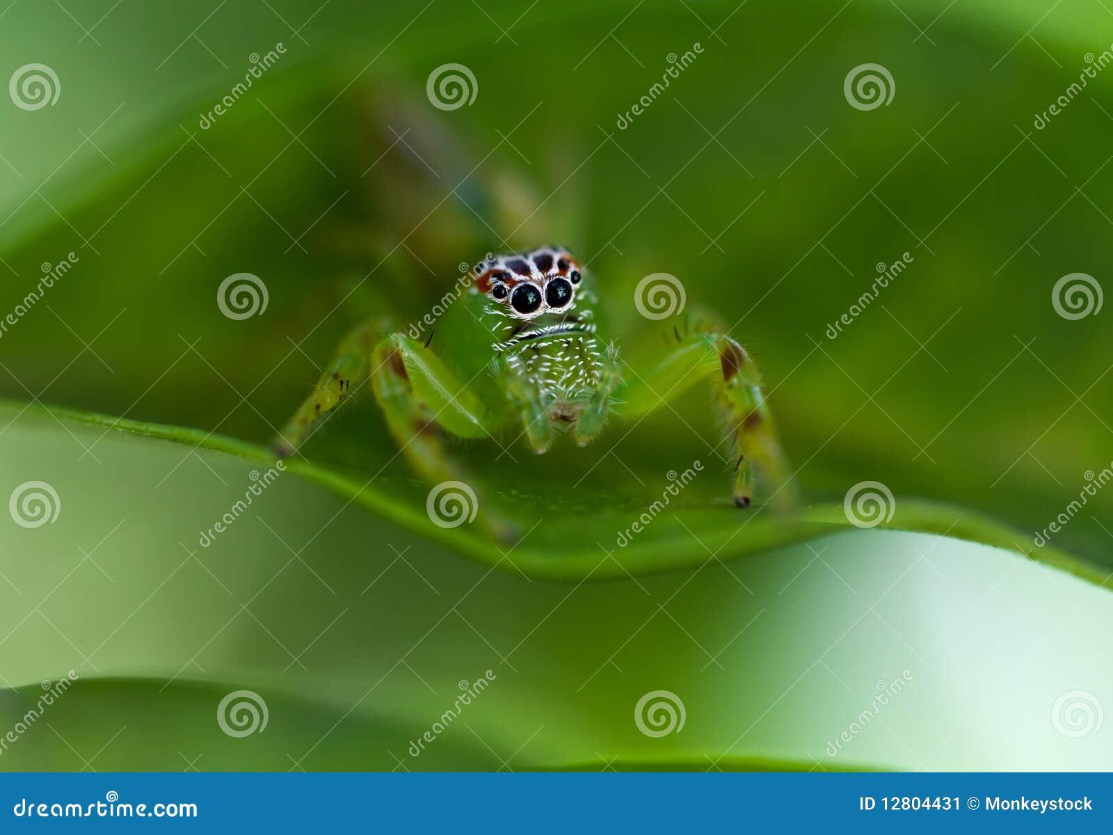 Aranha de salto verde fêmea